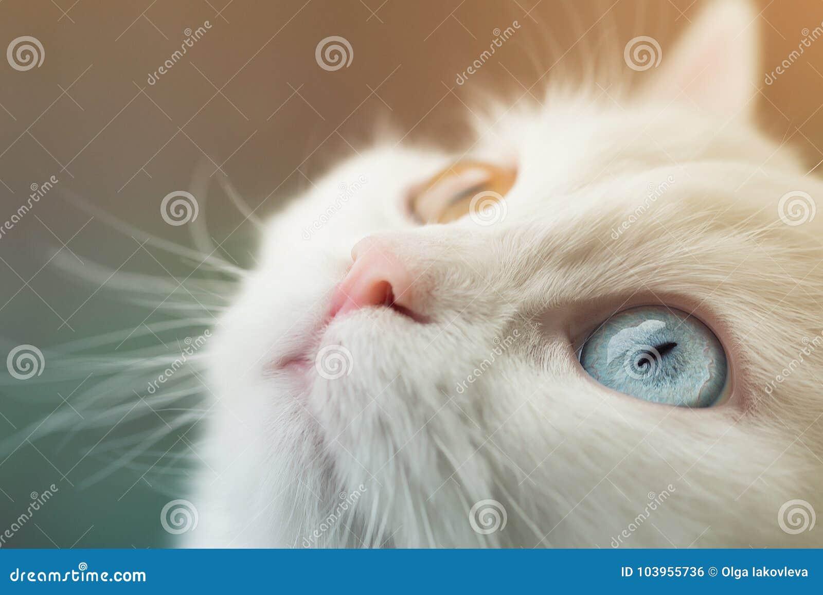 Vit angora- katt med olika ögon för blått som och för guling nyfiket ser upp