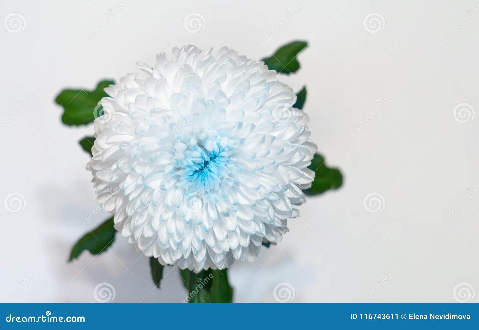Vit-blått blommakrysantemum Trädgårds- blomma Vit isolerad bakgrund med den snabba banan closeup Inget skuggar