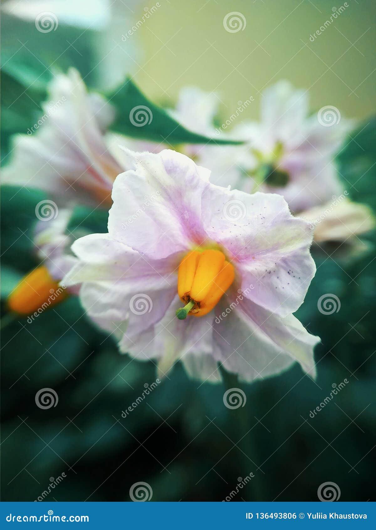 Vit blomma av potatisar i gräsplan