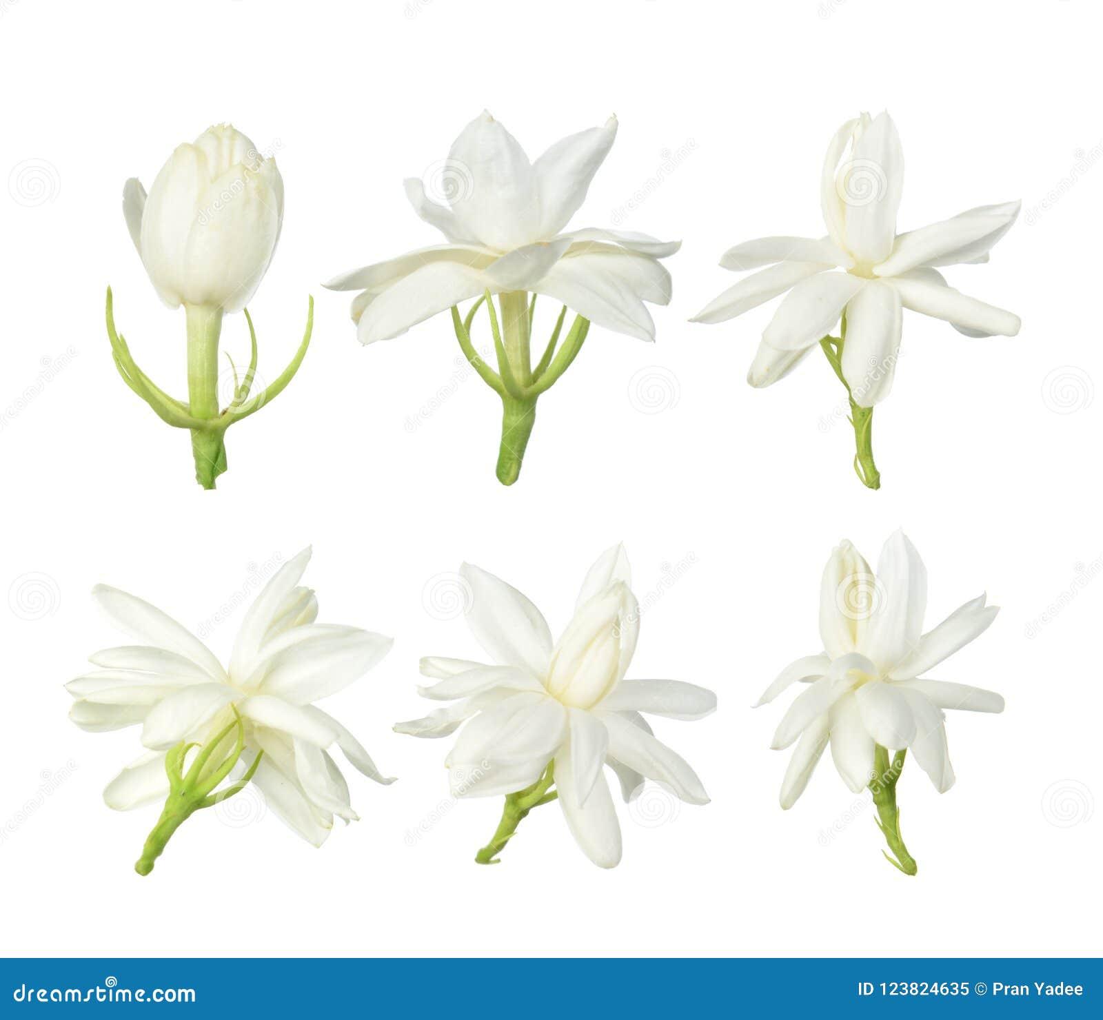 Vit blomma, thailändsk jasminblomma som isoleras på vit bakgrund