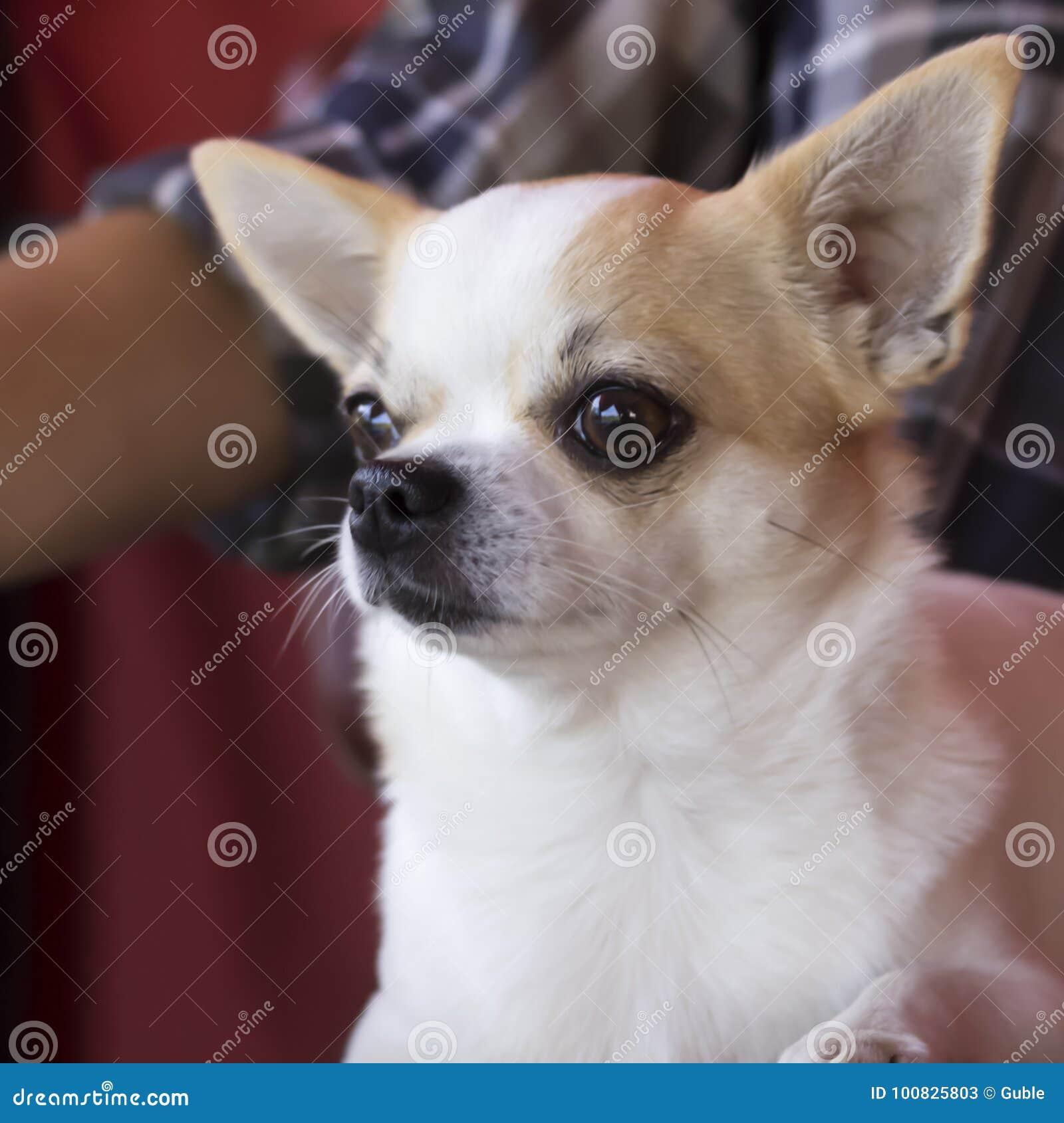 Vit Chihuahua, mycket liten hundnärbild