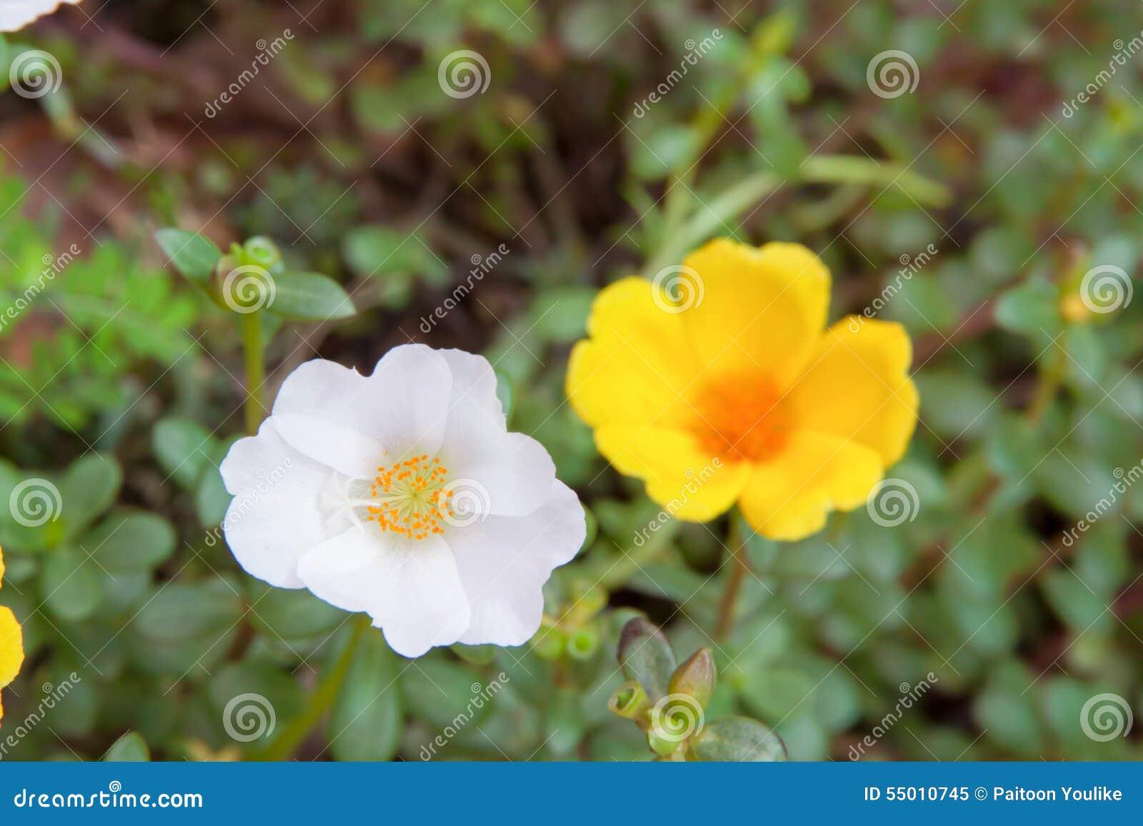 Vit för solrosblomma och gulingfärg