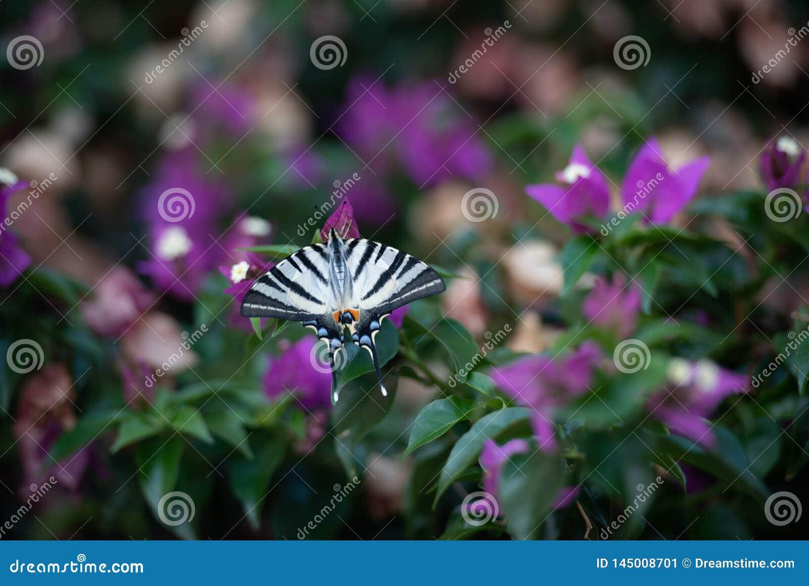 Vit fjäril med svarta band på grön bakgrund med purpurfärgade blommor