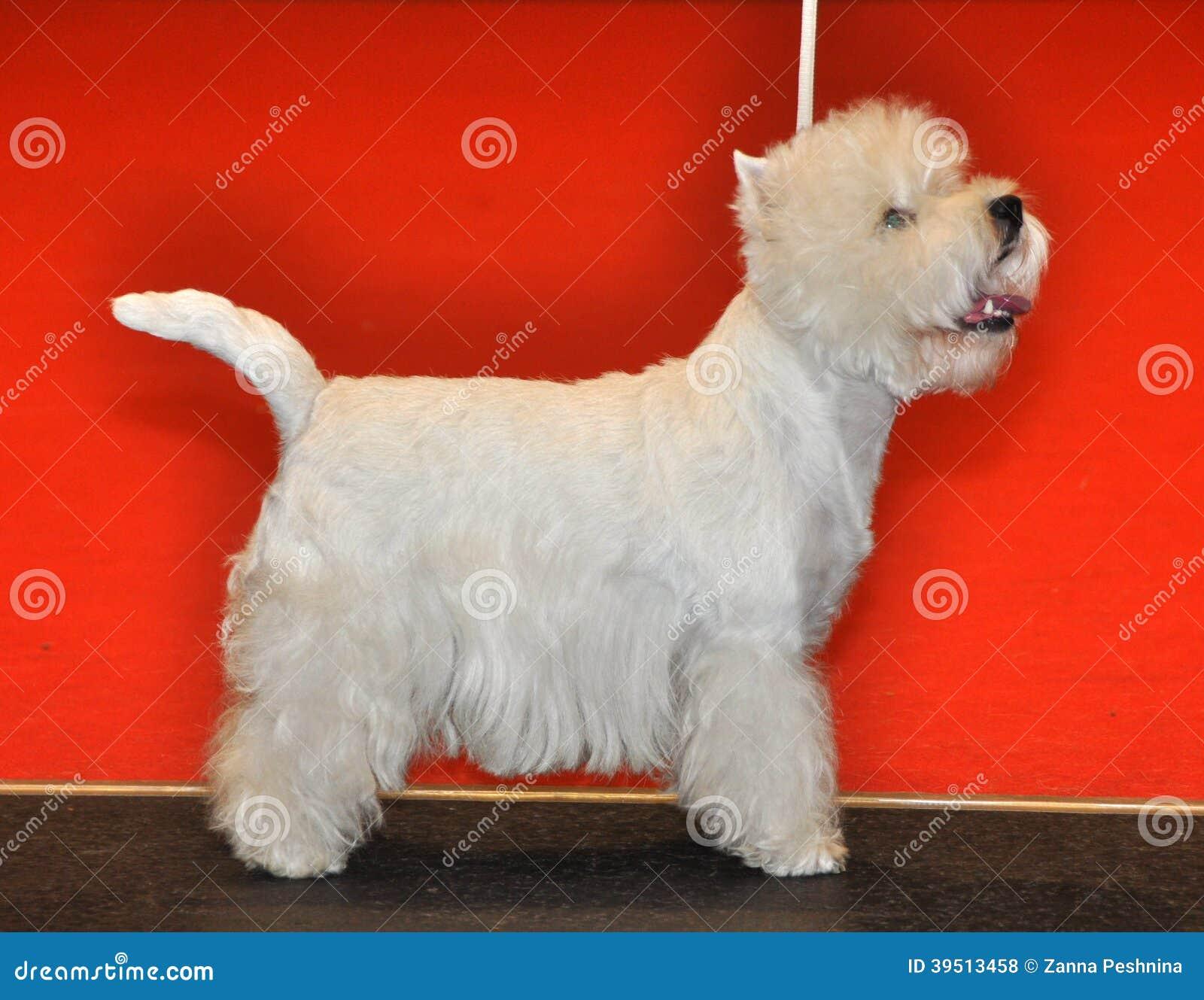Vit fluffig hund Bichon Frise
