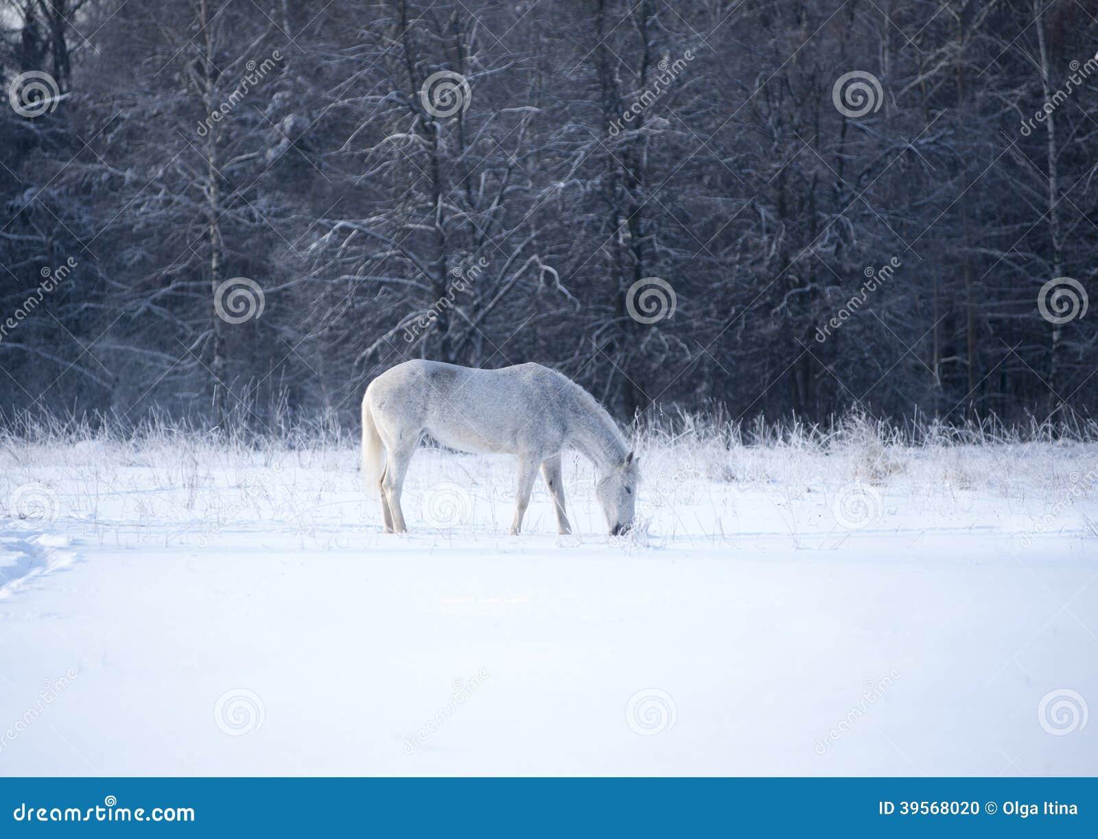 Vit häst i vinter