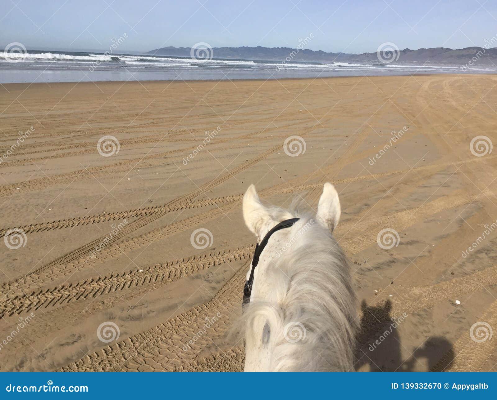 Vit häst på den Pismo stranden, Kalifornien