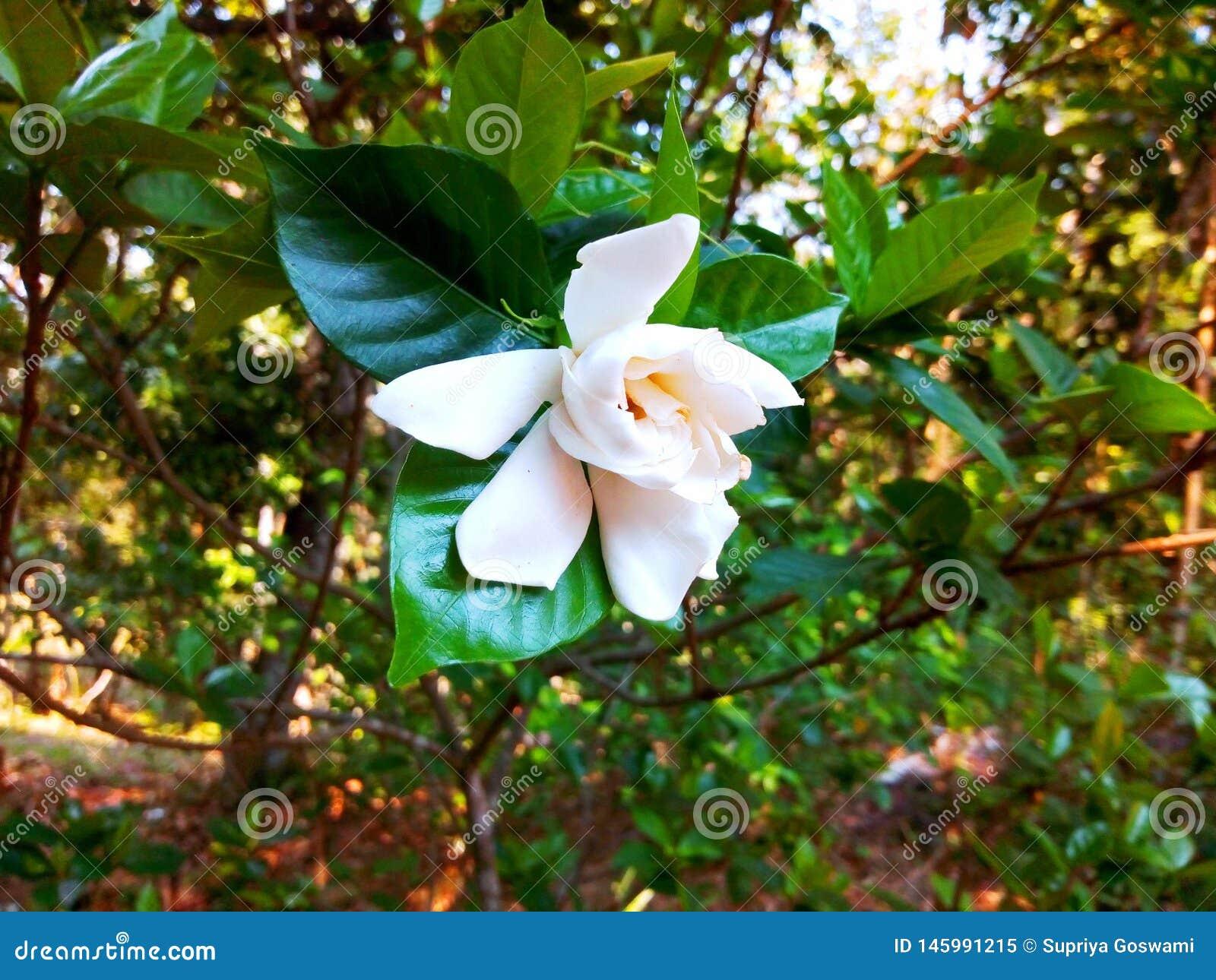 Vit indisk blomma som hänger på filialen