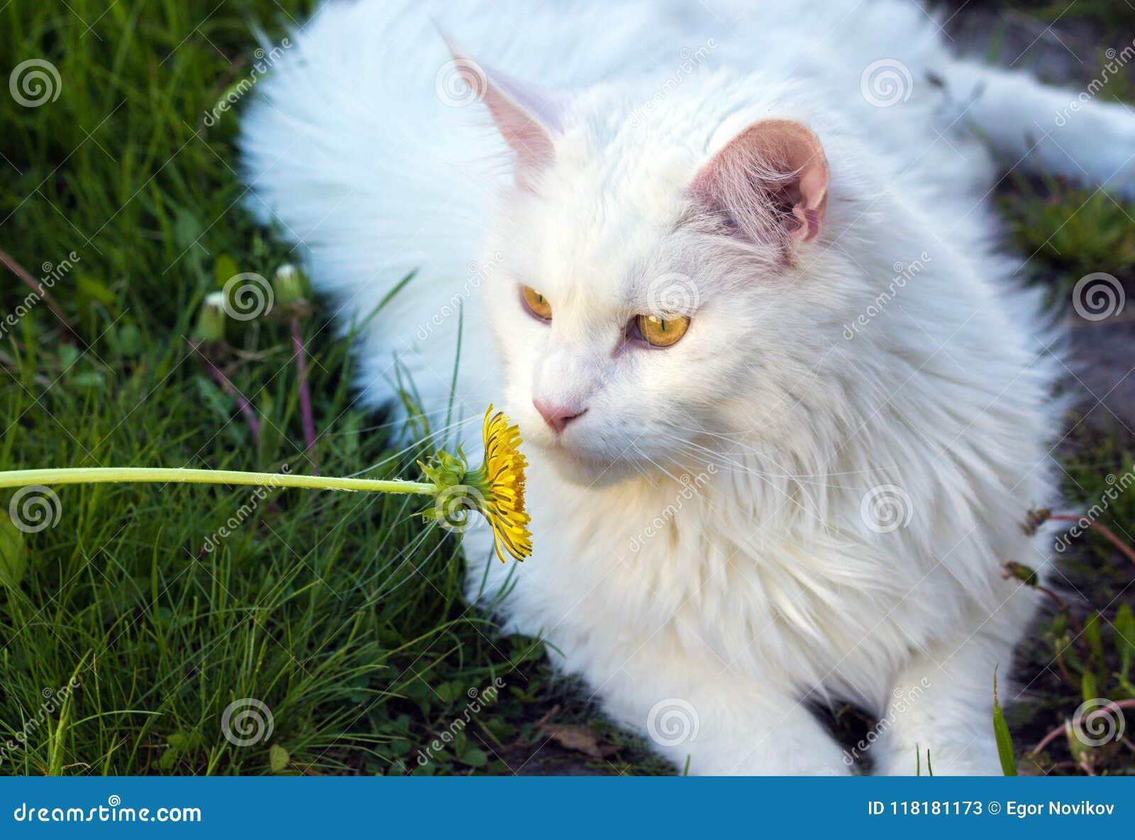 Vit katt Maine Coon som spelar på grönt gräs med blomman