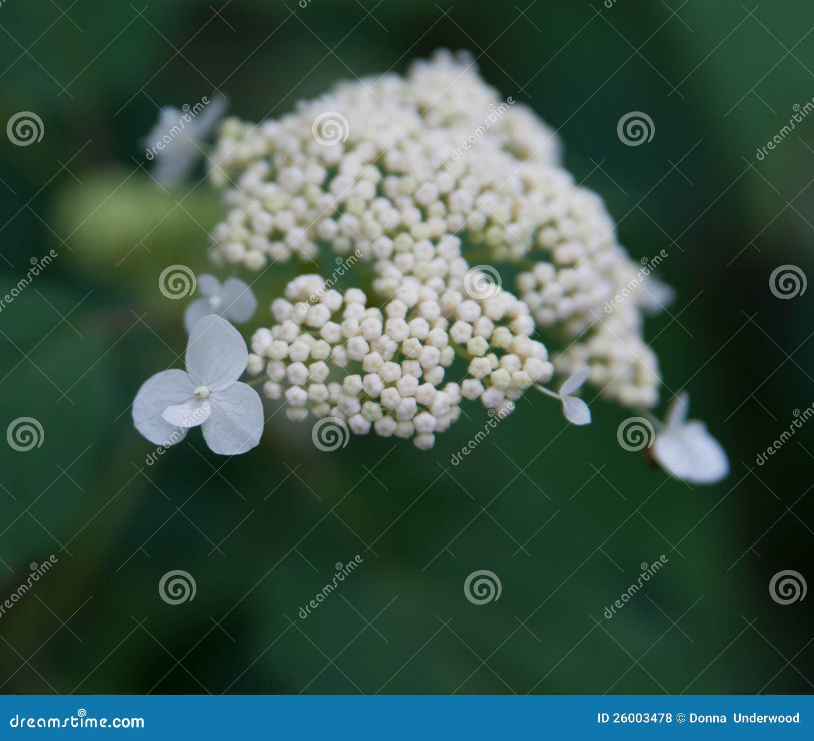 Vit lös vanlig hortensia
