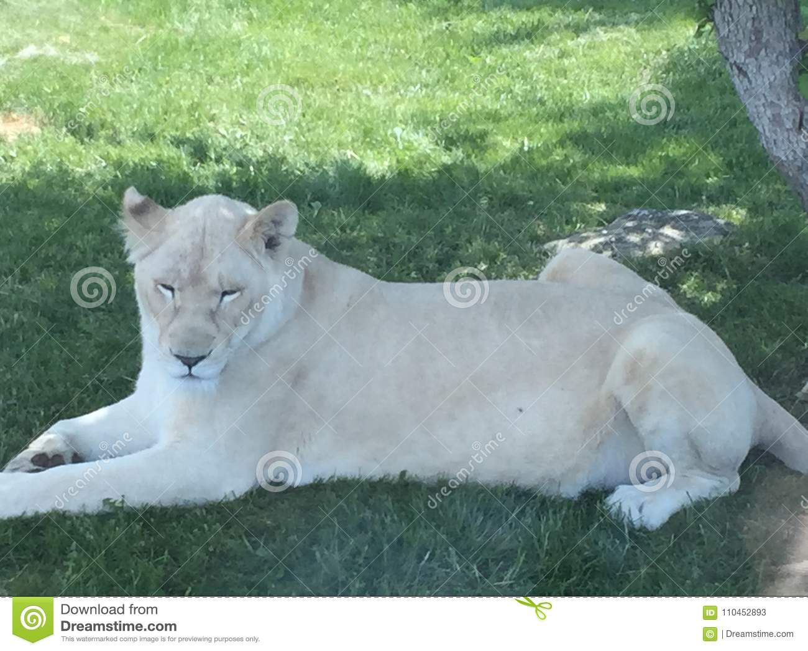 Vit lejoninna