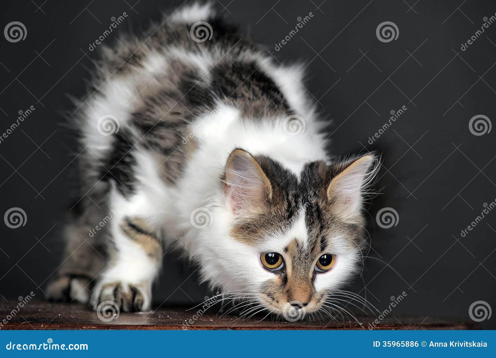 Vit med den randiga katten för fläckar