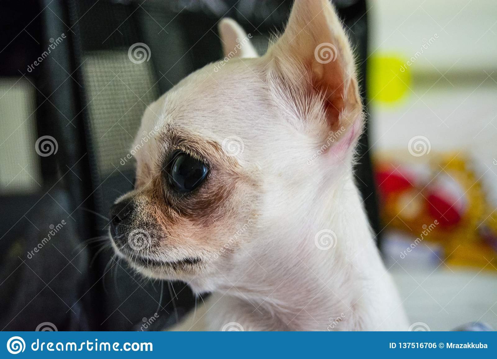 Vit mini- chihuahua