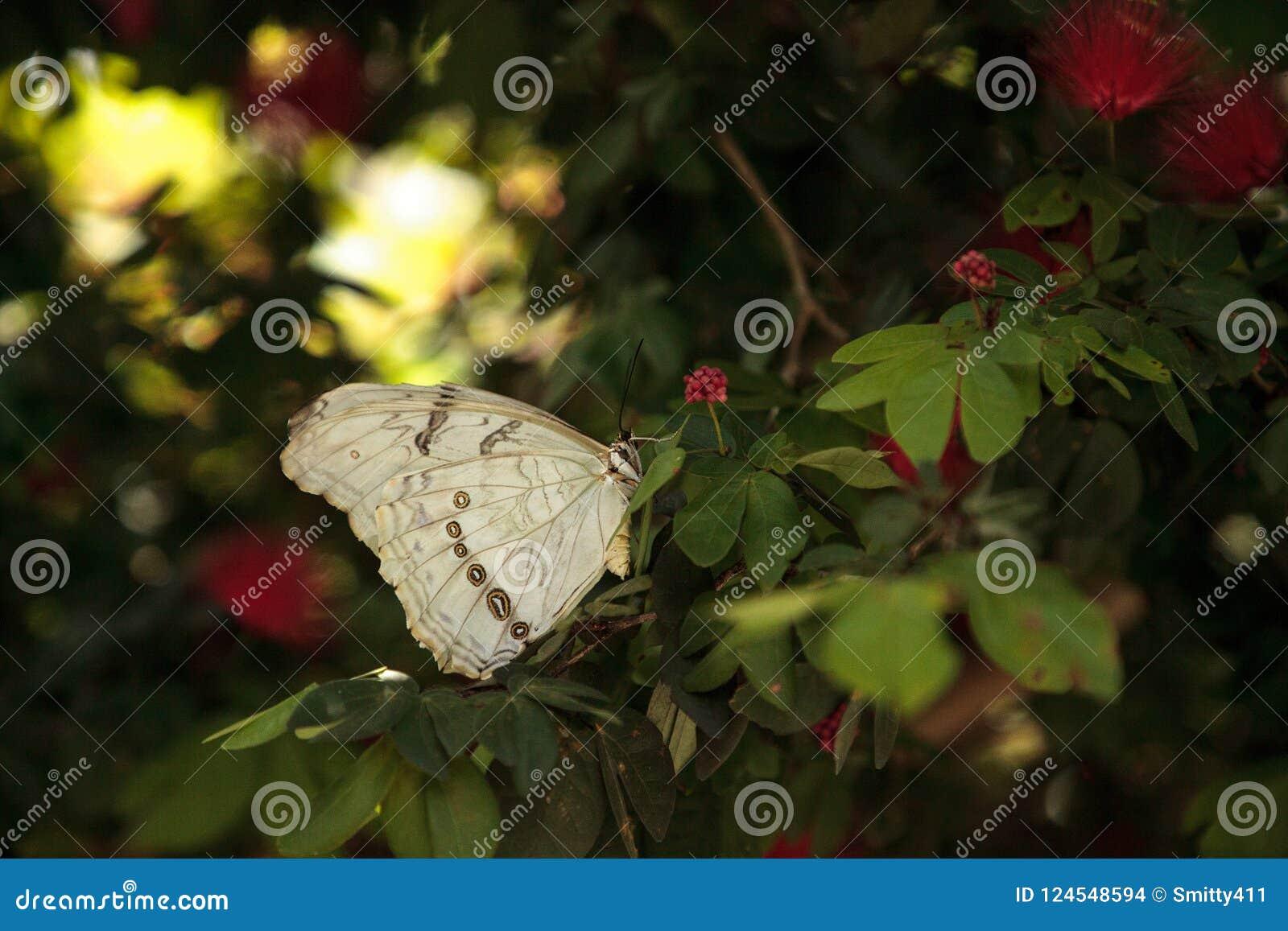 Vit Morpho fjärilsMorpho polyphemus