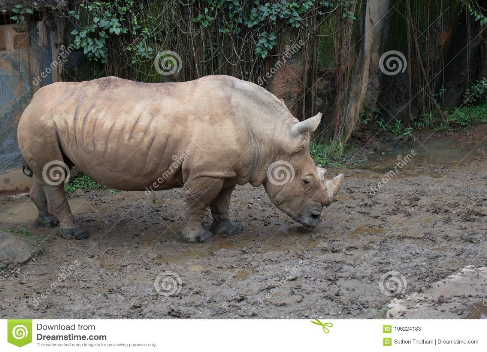 Vit noshörning på zoo Taipei