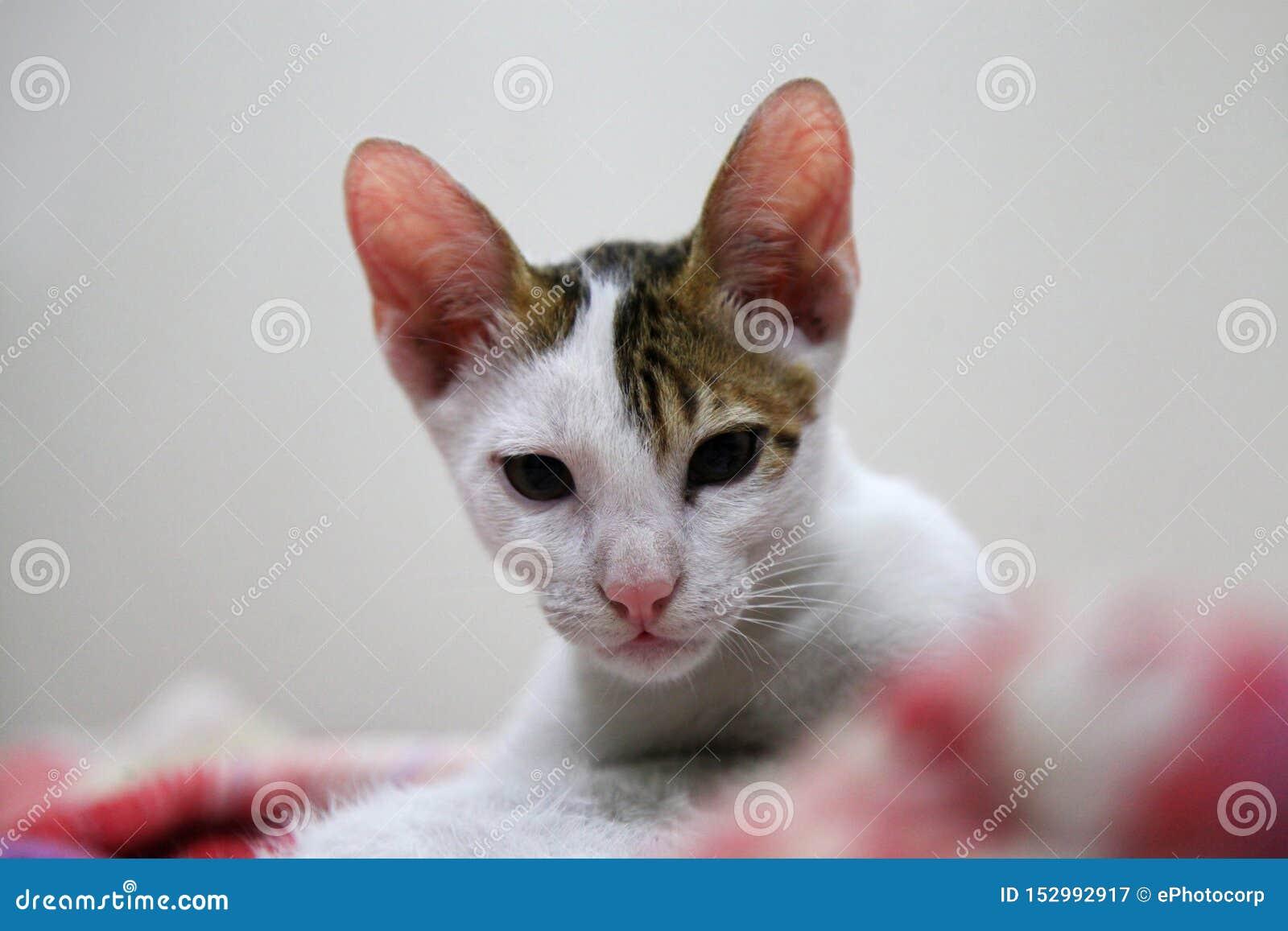 Vit och brunaktig färg för Abyssinian katt, Ahmednagar, Maharashtra, Indien