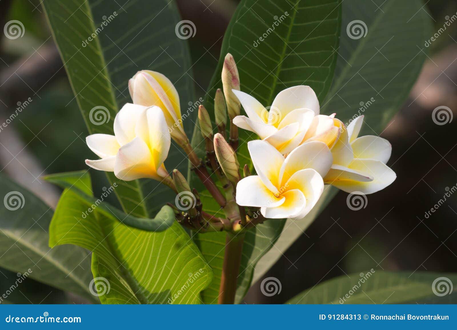 Vit- och gulingfrangipanien blommar med sidor i bakgrund