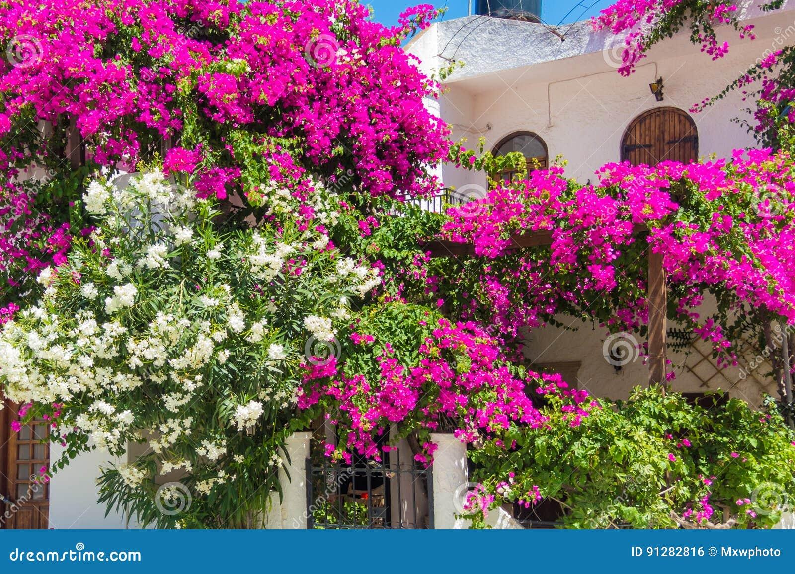 Vit och rosa oleander som växer på en vit husvägg