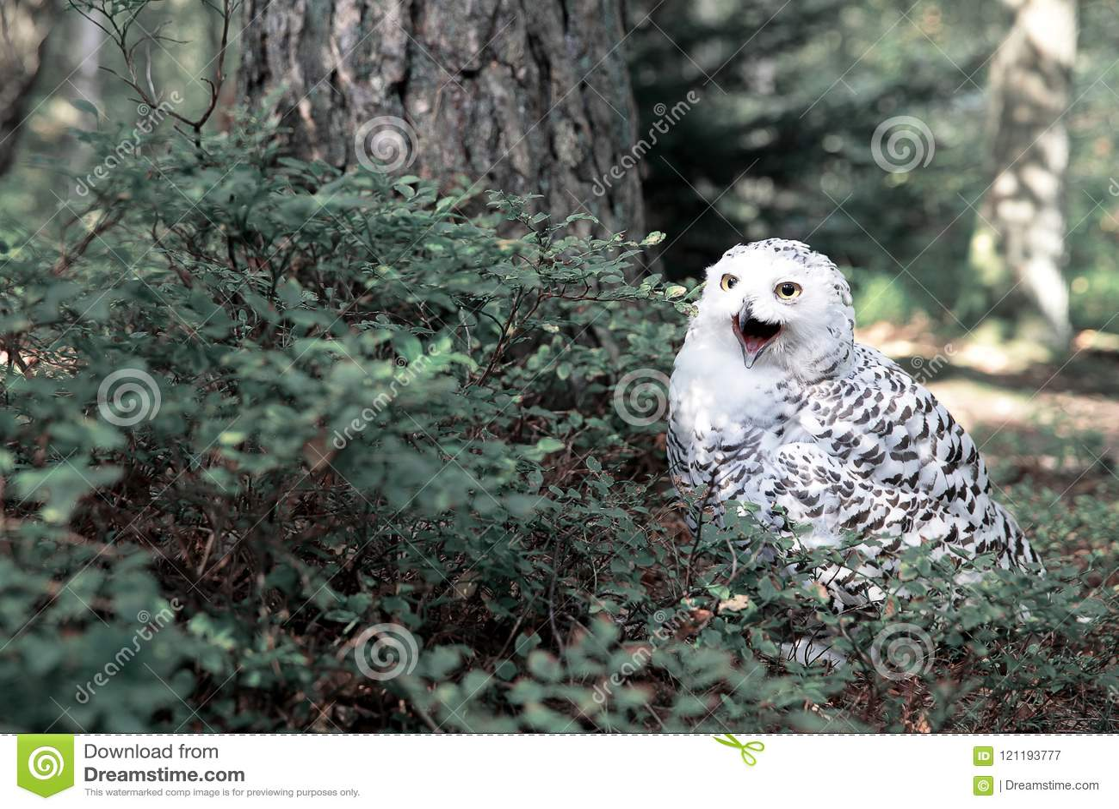 Vit polar uggla i skogen