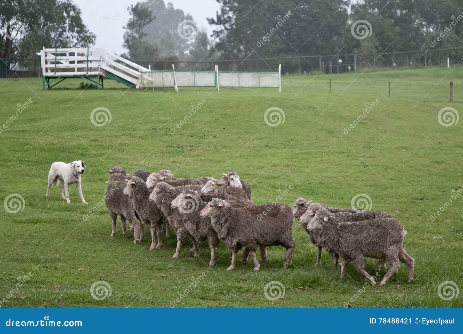 Vit pyrenean berghund med fårflocken