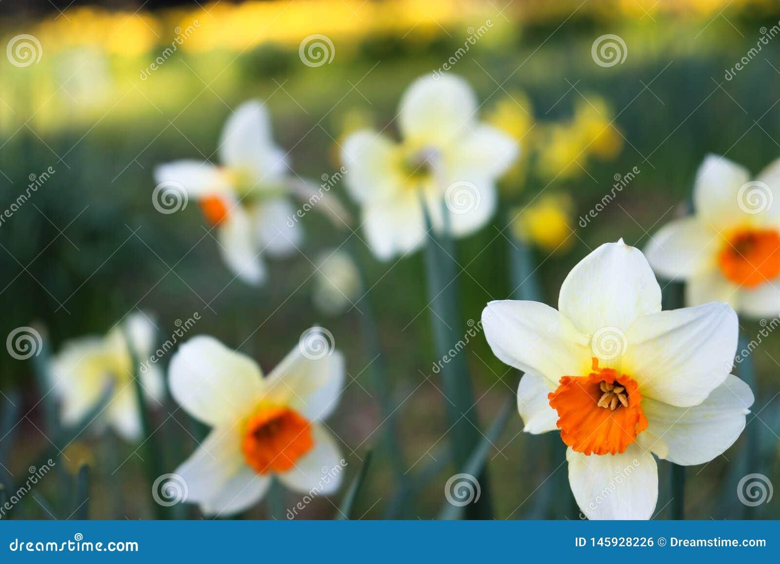 Vit/röd blomma i förgrund med suddig bakgrund