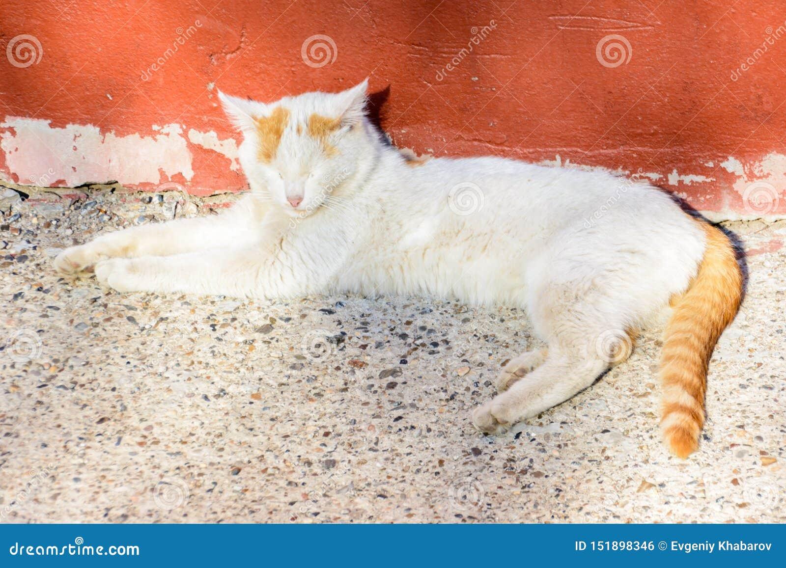 Vit-röd katt som värma sig i solen på en vårdag Den ljust rödbrun katten stängde hans ögon med nöje Bekymmerslöst fritt liv
