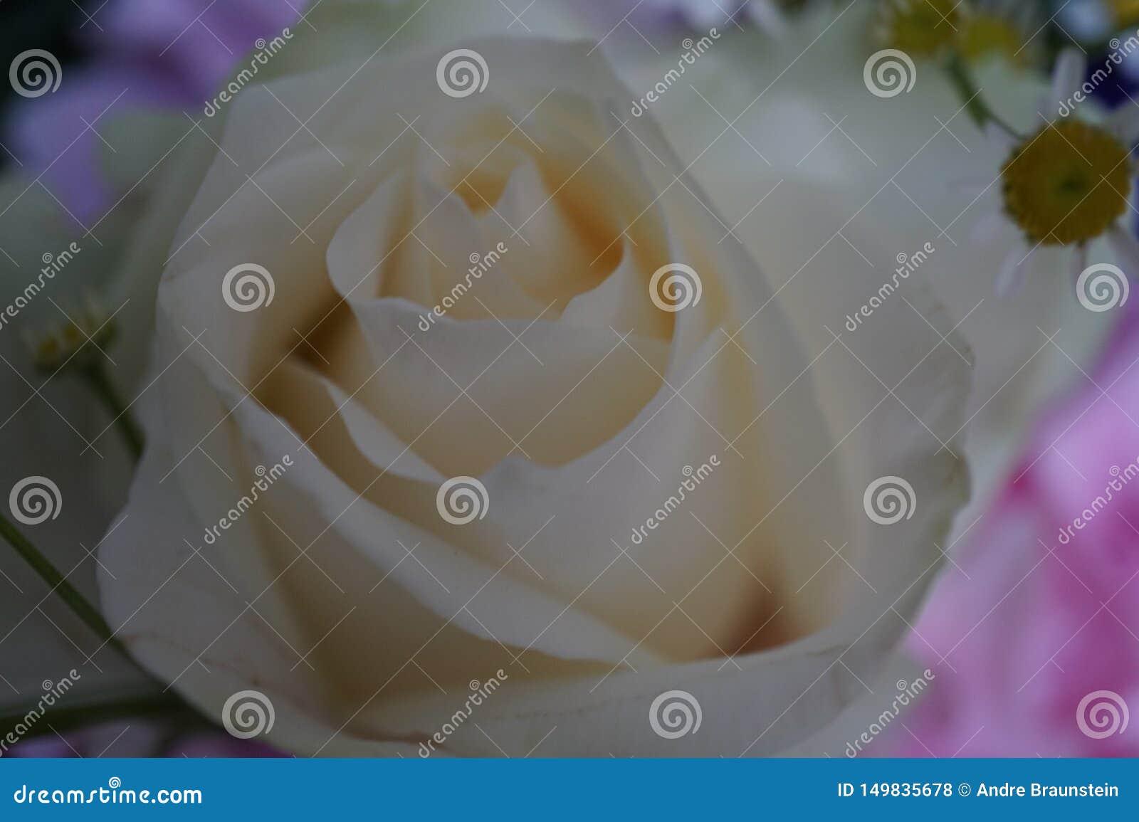 Vit ros och i bakgrundskamomillblommorna