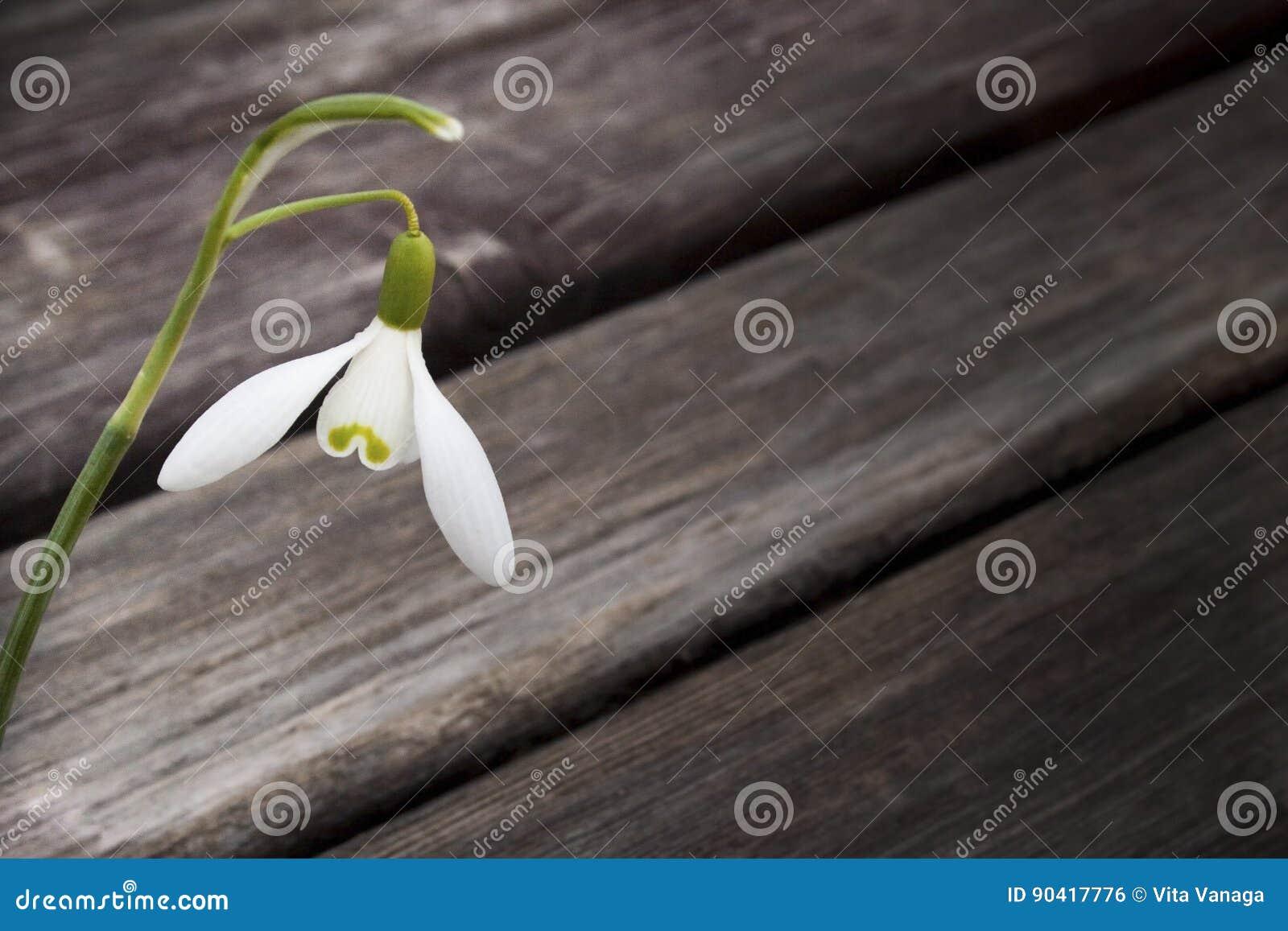 Vit snowbellcloseup på trägrå bakgrund, tomt utrymme, klart enkelhetsvårlynne