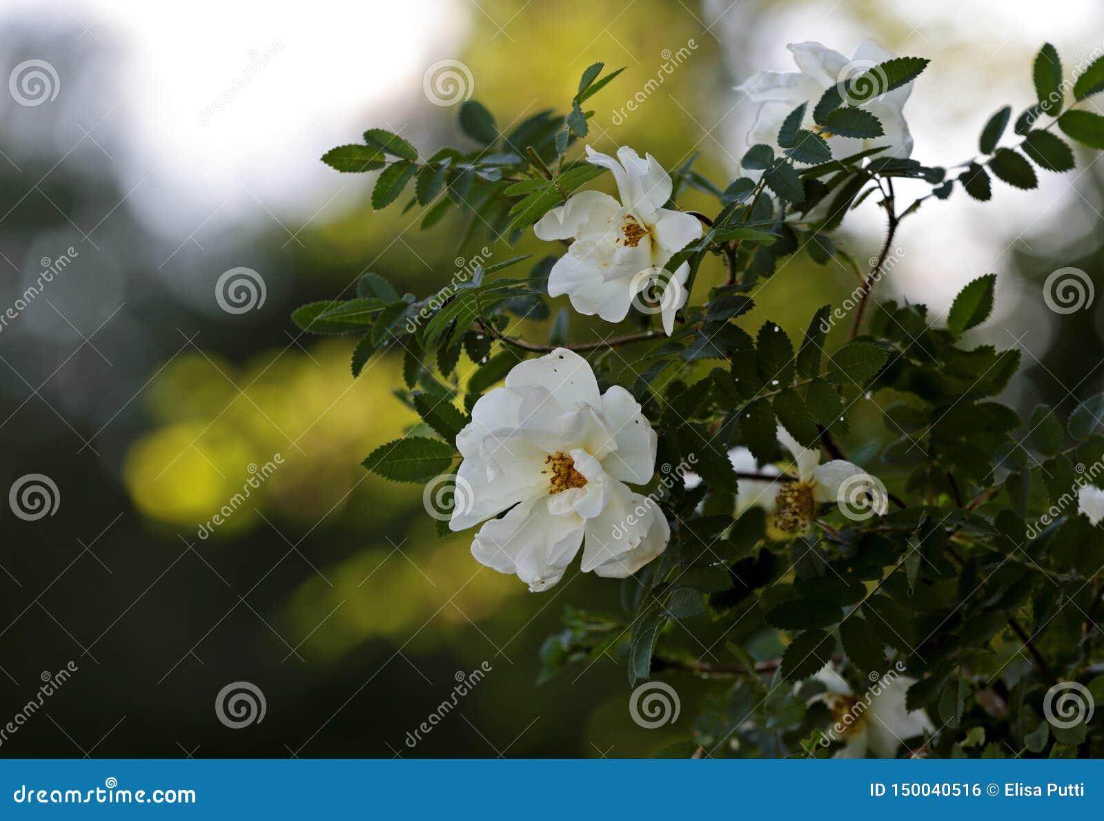 Vit steg blomma i skuggor