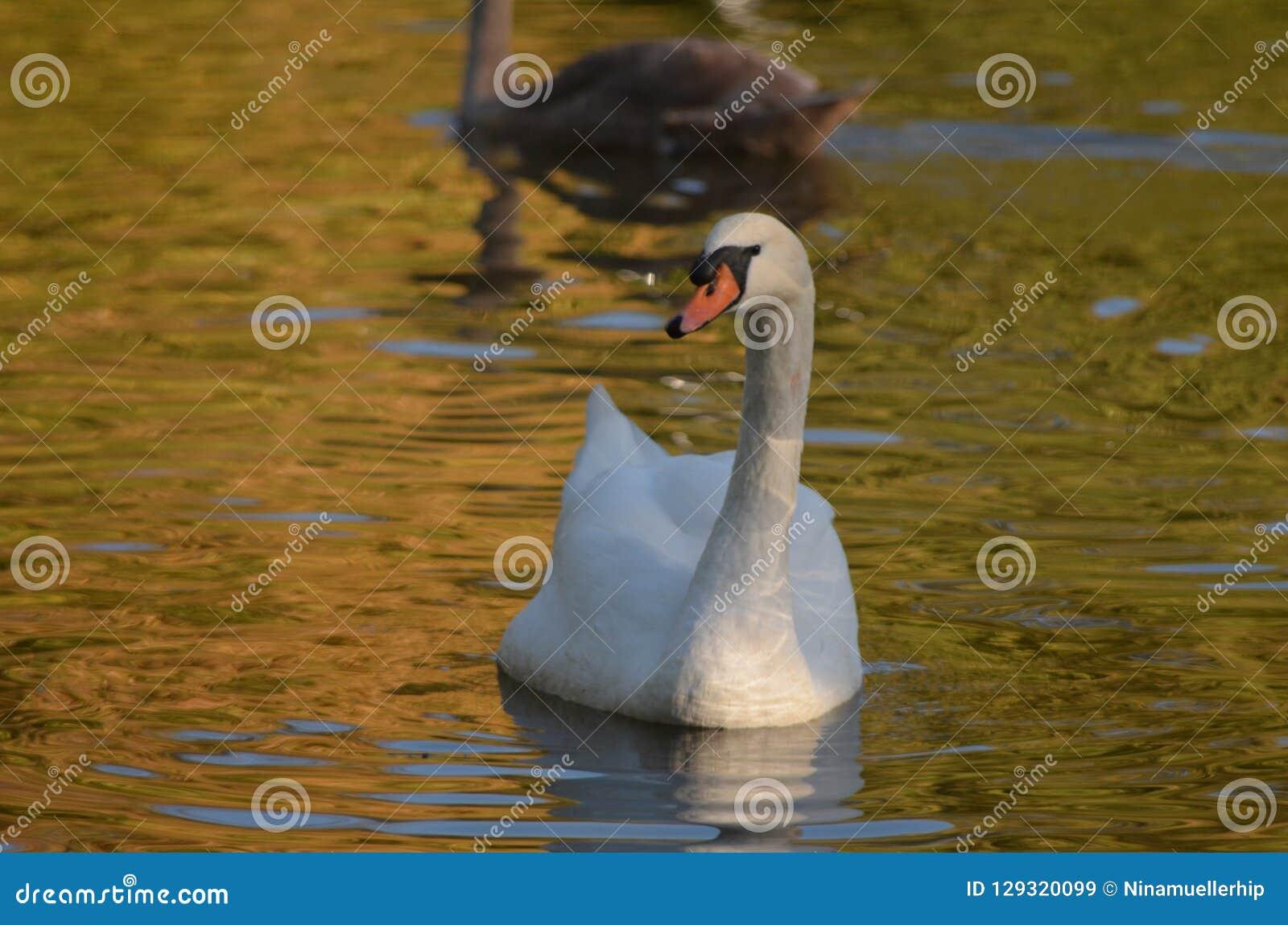 Vit svan Cygnini i vatten under höst, behagfull härlig fågel med vita fjädrar i vatten nära till kusten