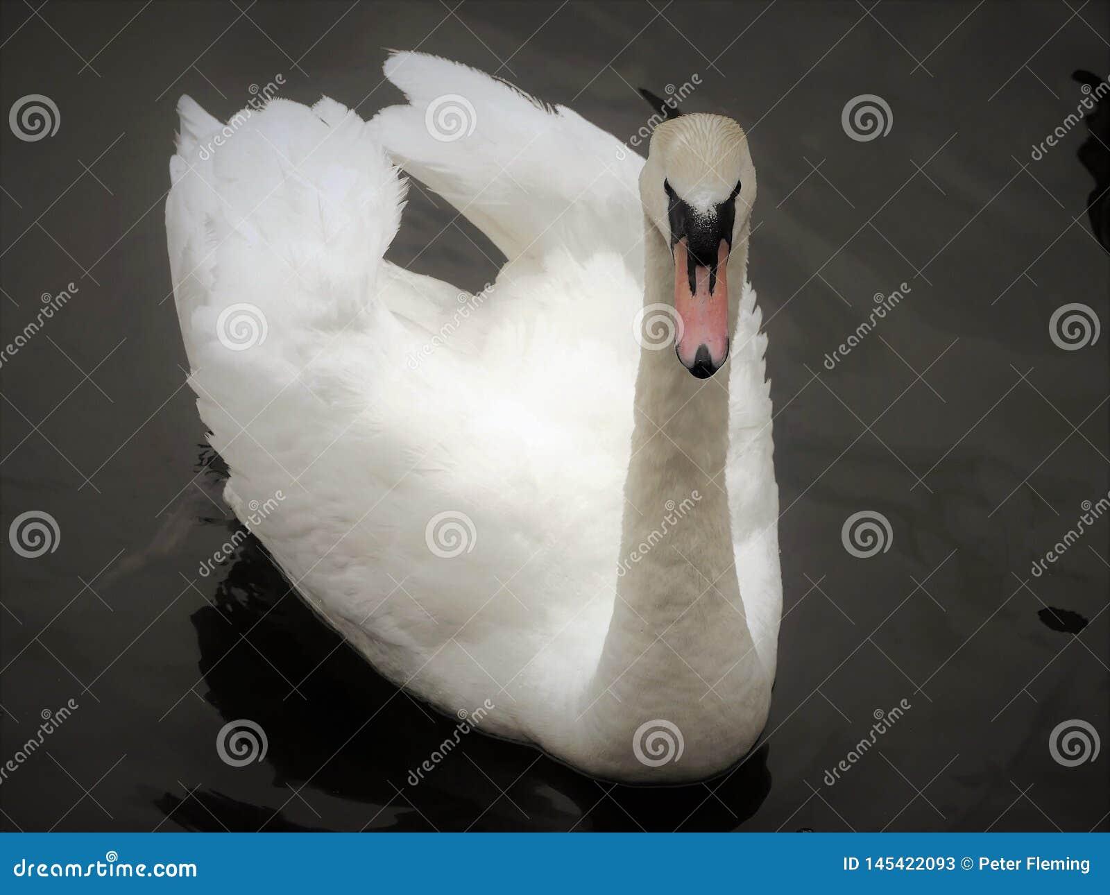 Vit svan i den storslagna unionkanalen