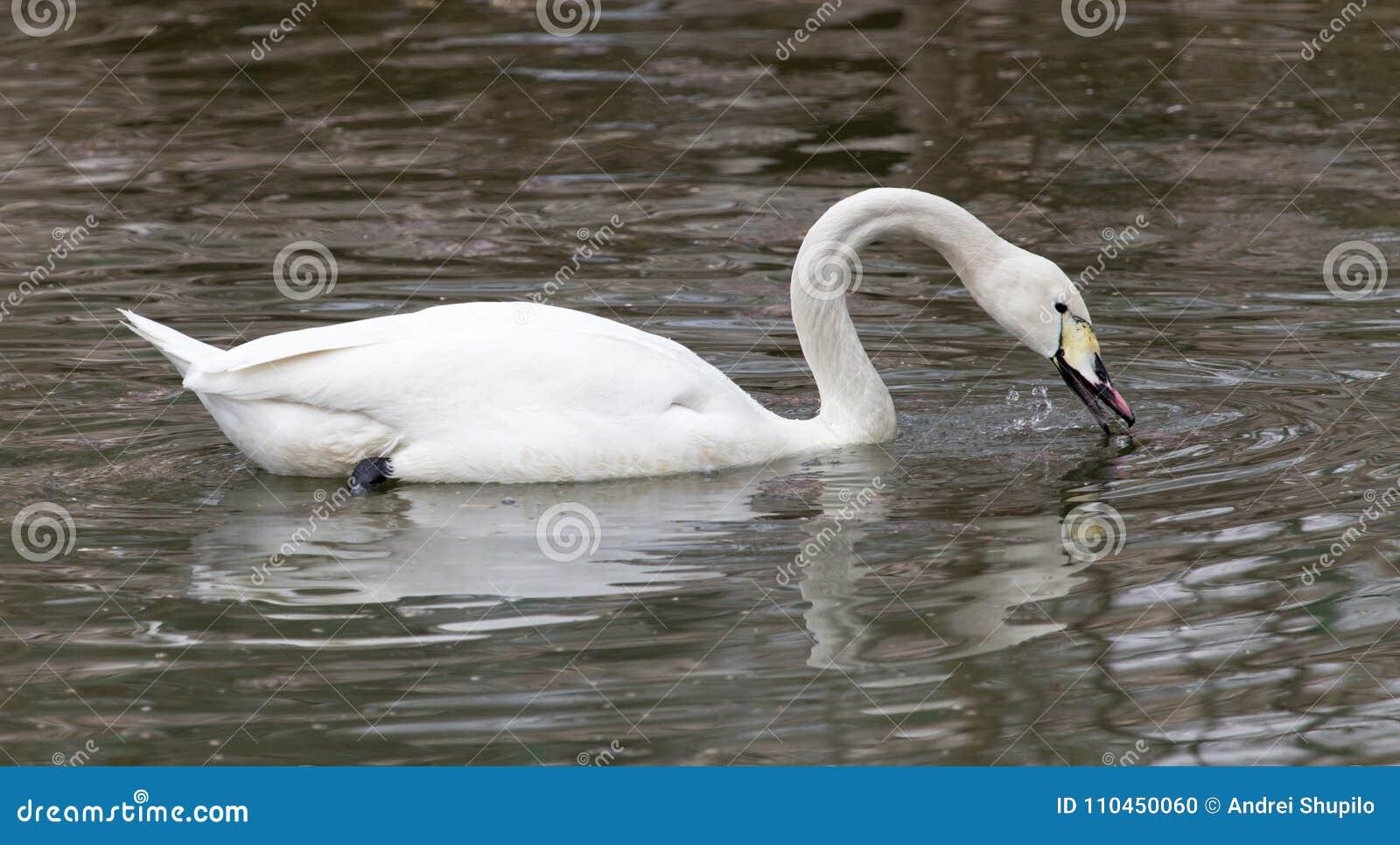 Vit svan som svävar på sjön