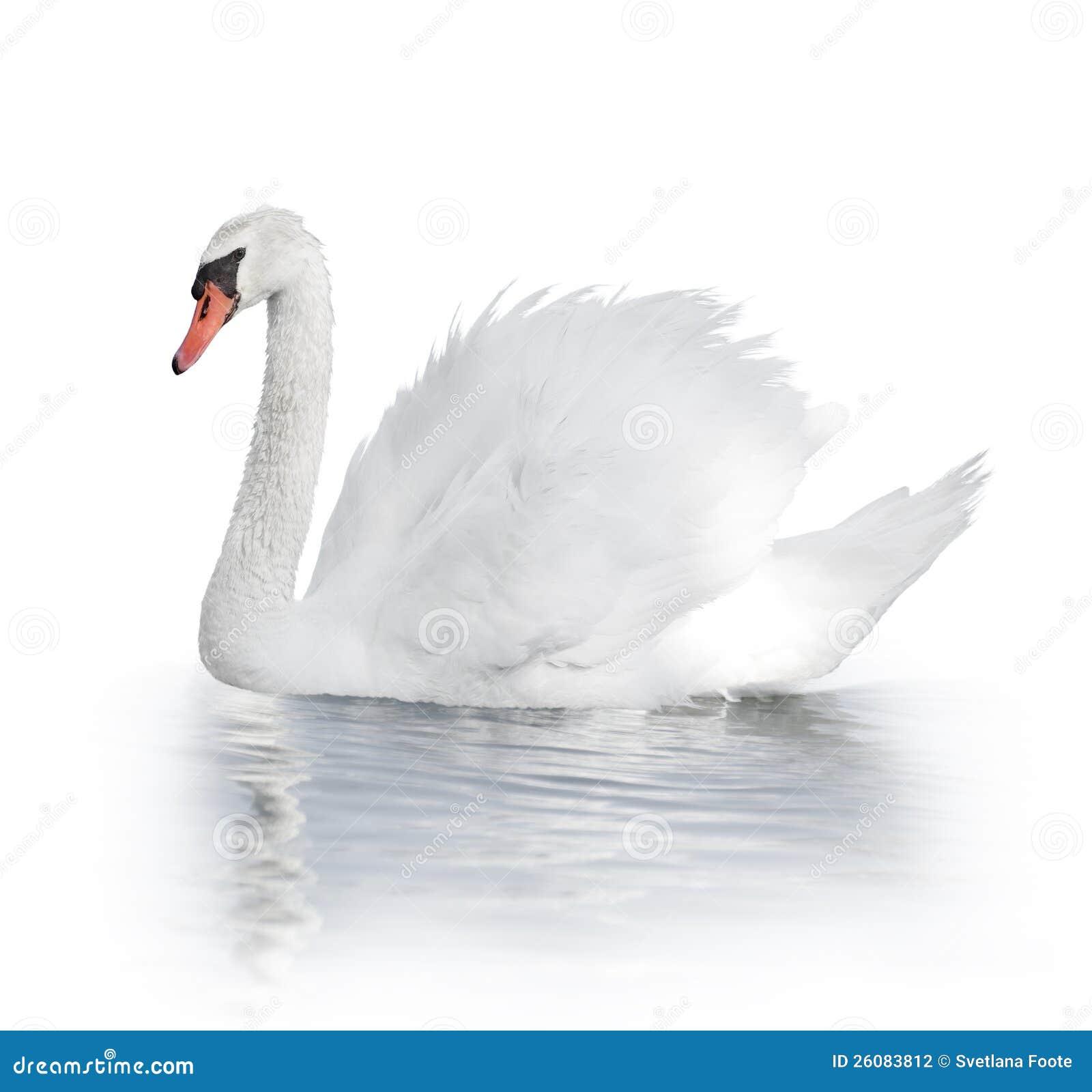 Vit Swan