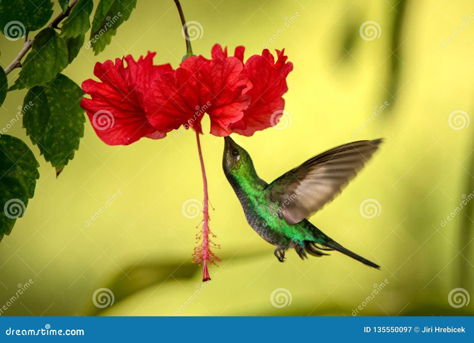 Vit-tailed sabrewing sväva bredvid den röda ibiscusblomman, fågel i flykten, caribean tropisk skog, Trinidad och Tobago