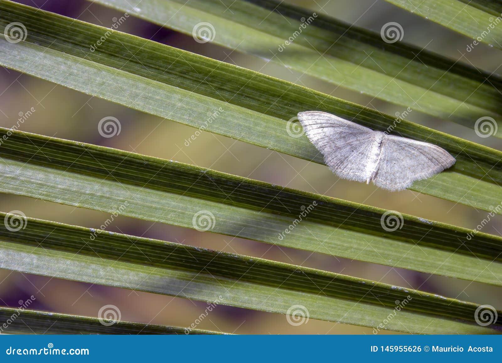 Vit vågmal på ett palmträdblad