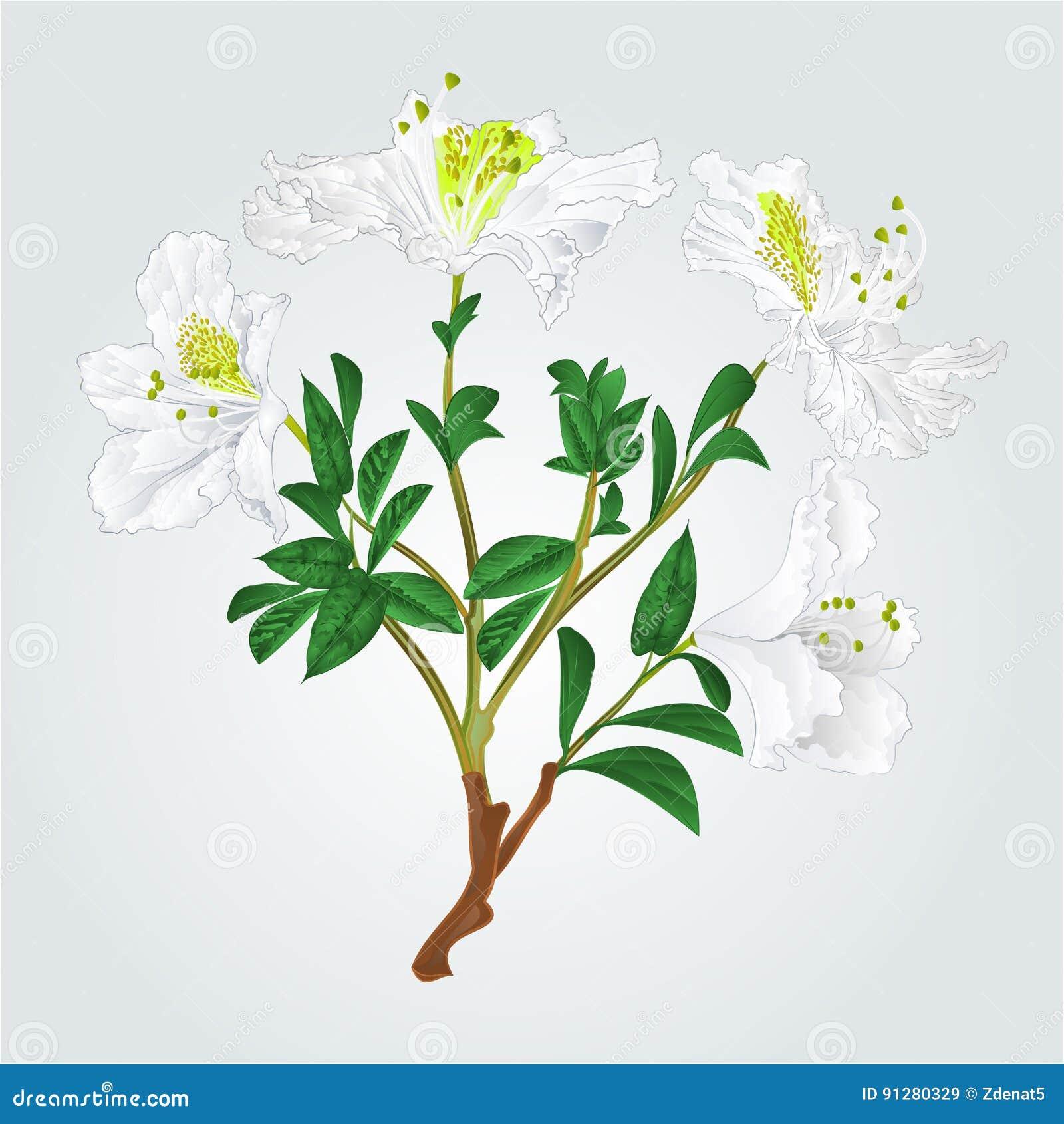Vit vektor för rhododendronfilialtappning
