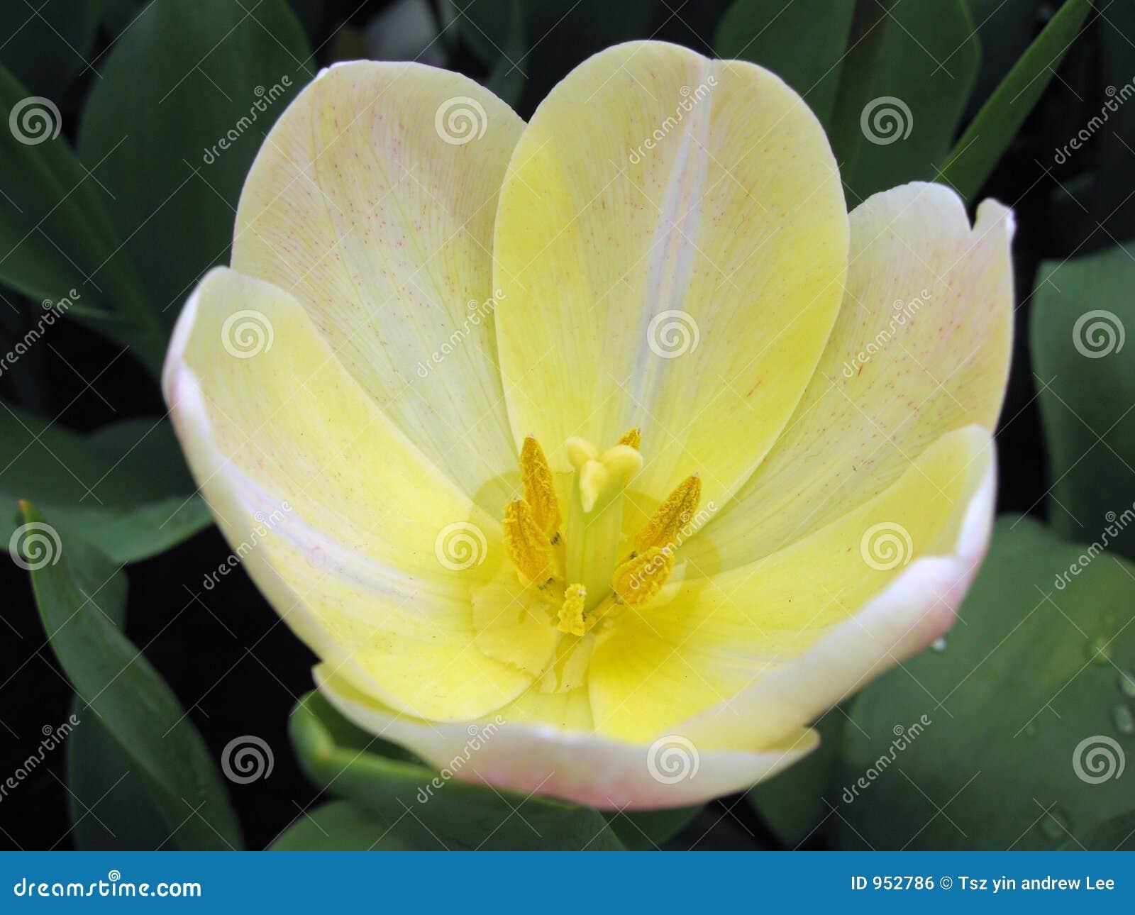 Vit yellow för blommamakro