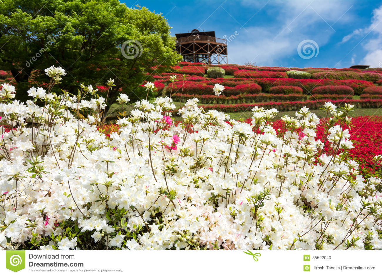 Vita Azalea Flowers