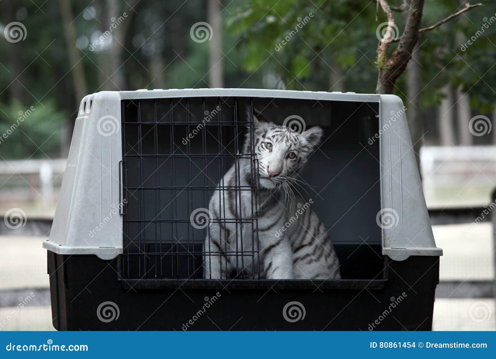 Vita bengal behandla som ett barn tigern