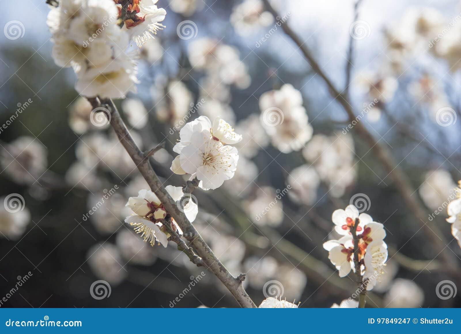 Vita blommor av det Cherry Plum trädet, selektiv fokus, Japan blomma, skönhetbegrepp, japanSpa begrepp
