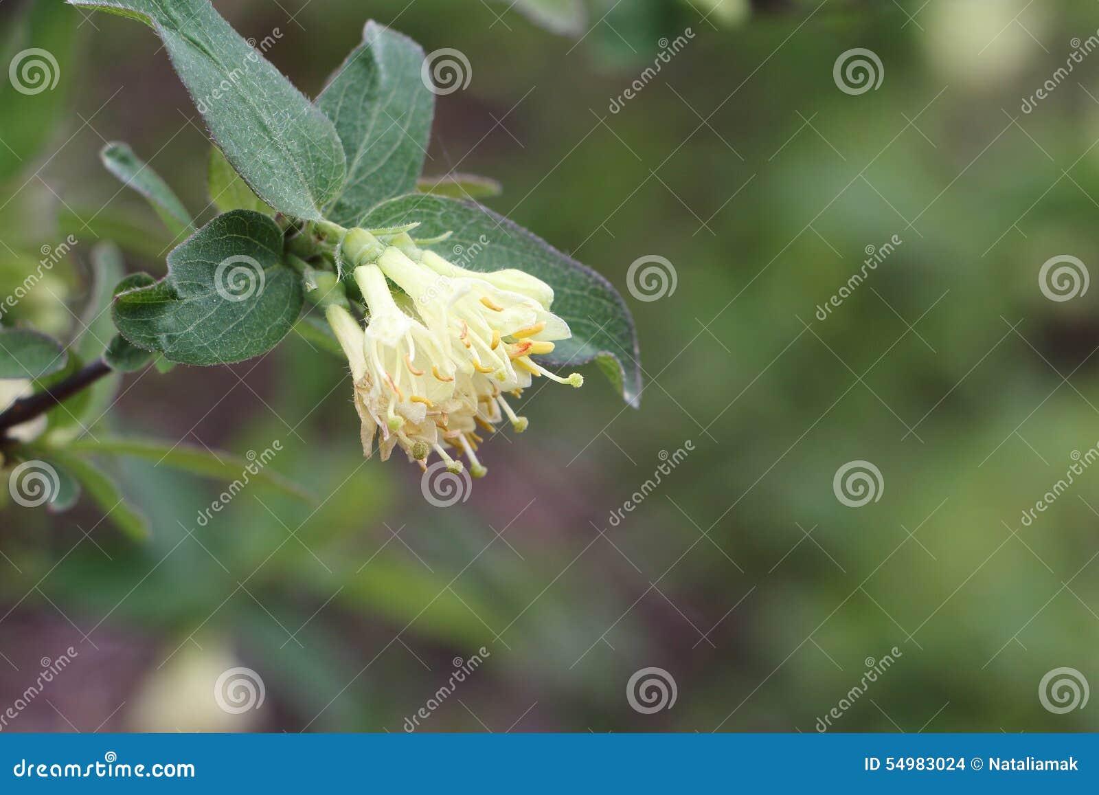 Vita blommor av en kaprifol på våren