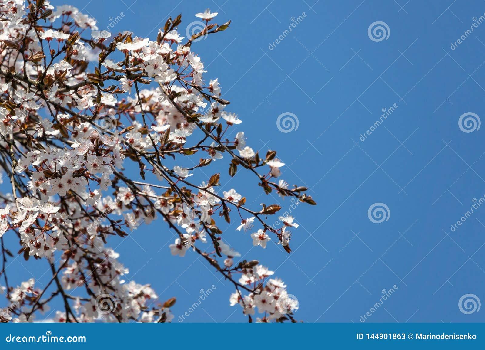 Vita blommor f?r den k?rsb?rsr?da plommonet blomstrar mot bakgrund av bl? himmel Mycket vita blommor i solig v?rdag Selektivt fok