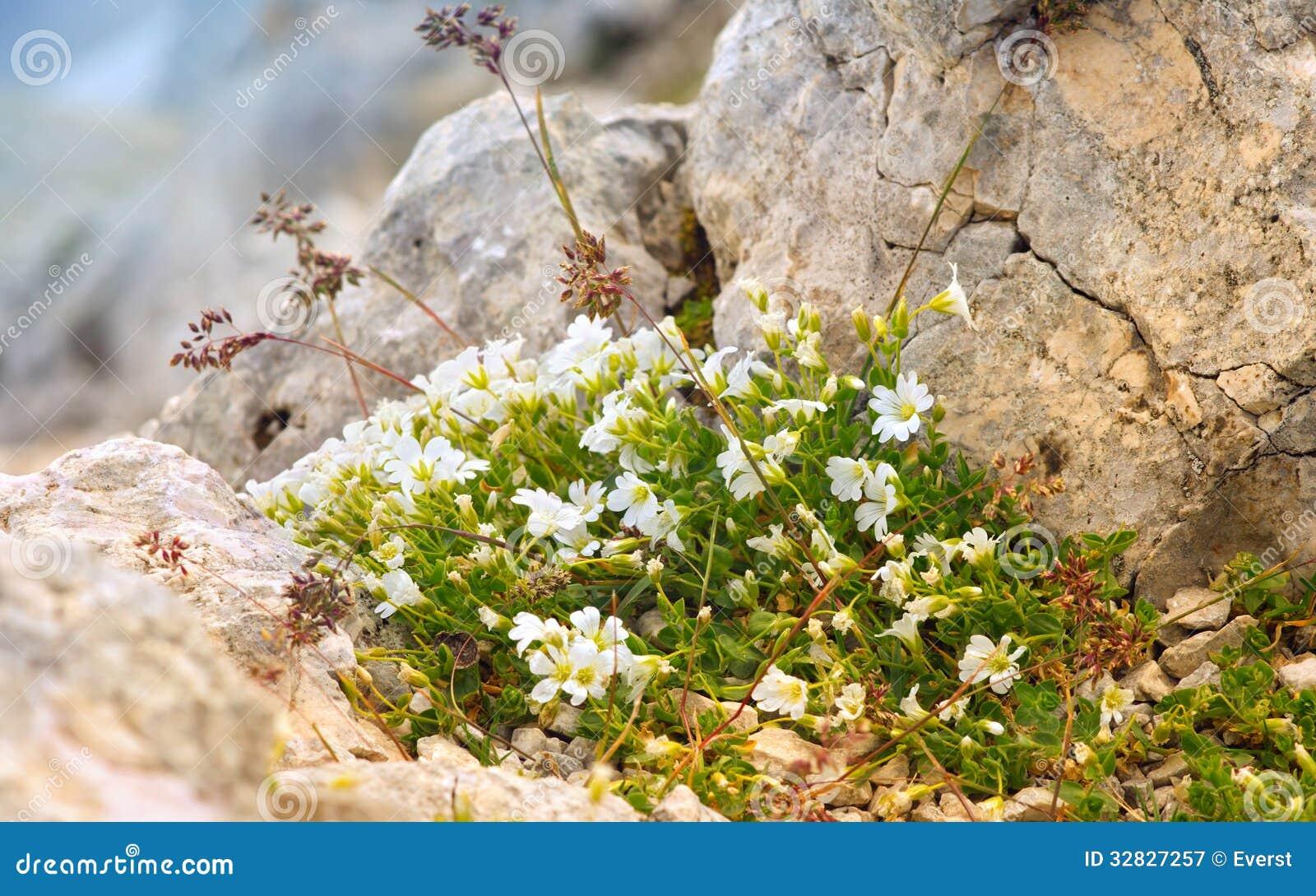 Vita blommor i reserv för Kaukasus berg
