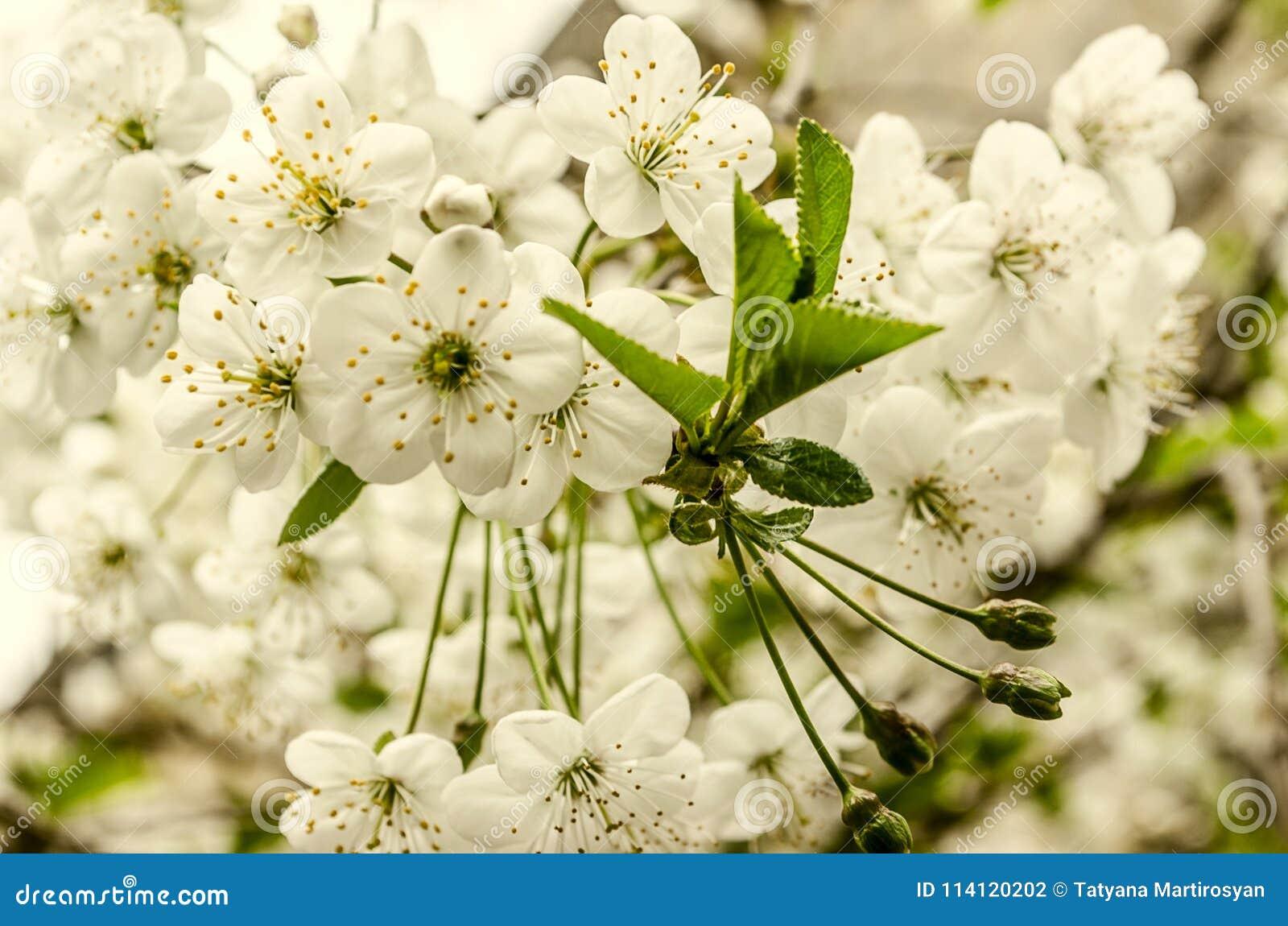 Vita blommor och unrevealed gräsplan lämnar det körsbärsröda trädet