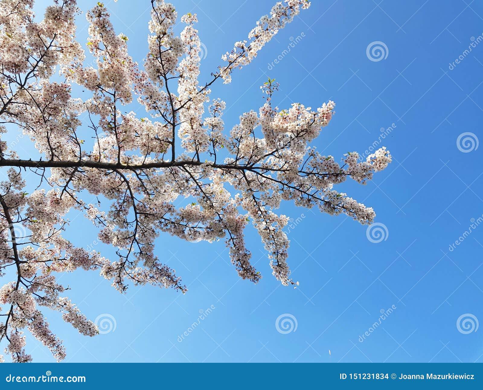 Vita blommor på en trädfilial mot blå himmel