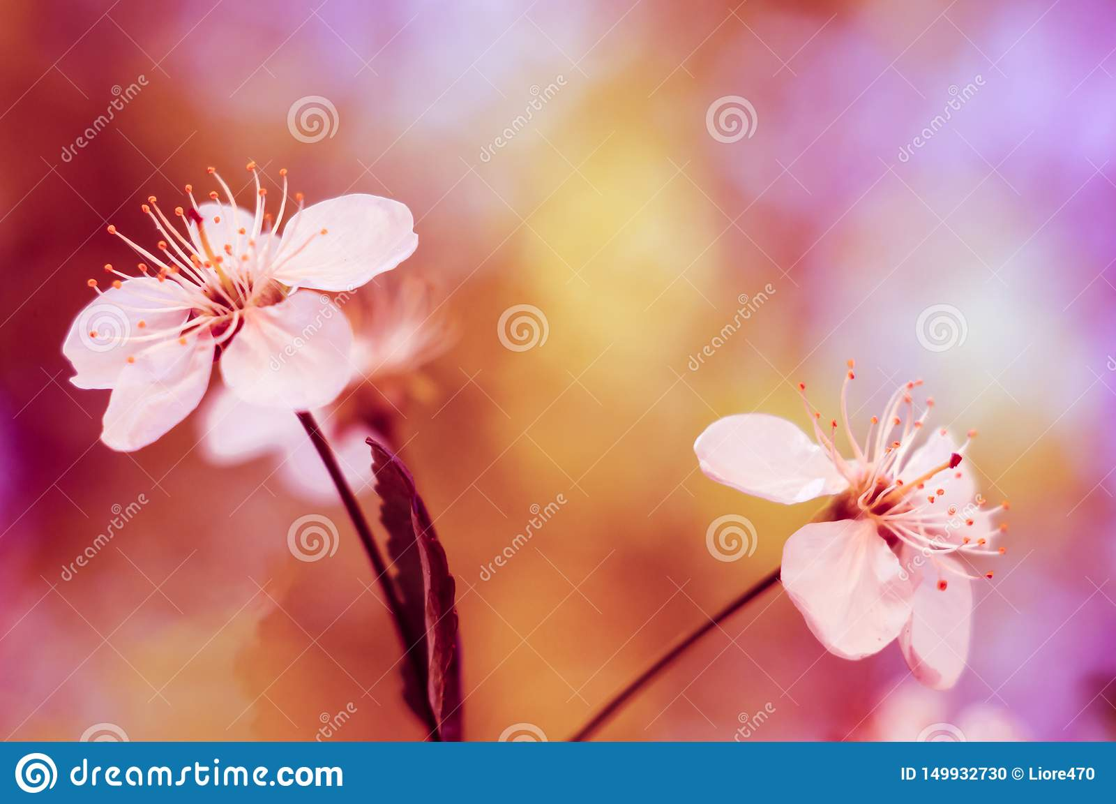 Vita blomningar av körsbäret med suddig rosa bakgrund Filialer av k?rsb?ret Blommar k?rsb?rsr?d n?rbild Natursk?nhet _