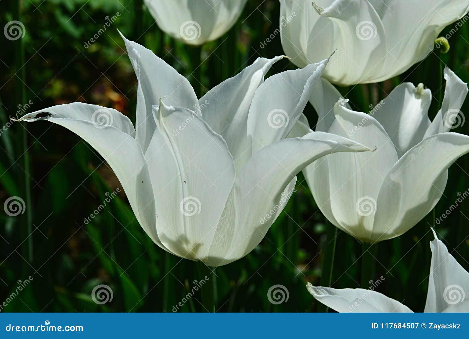 Vita blomstra tulpanblommor av den Sapporo blanden under tidigt kan vårsäsongen