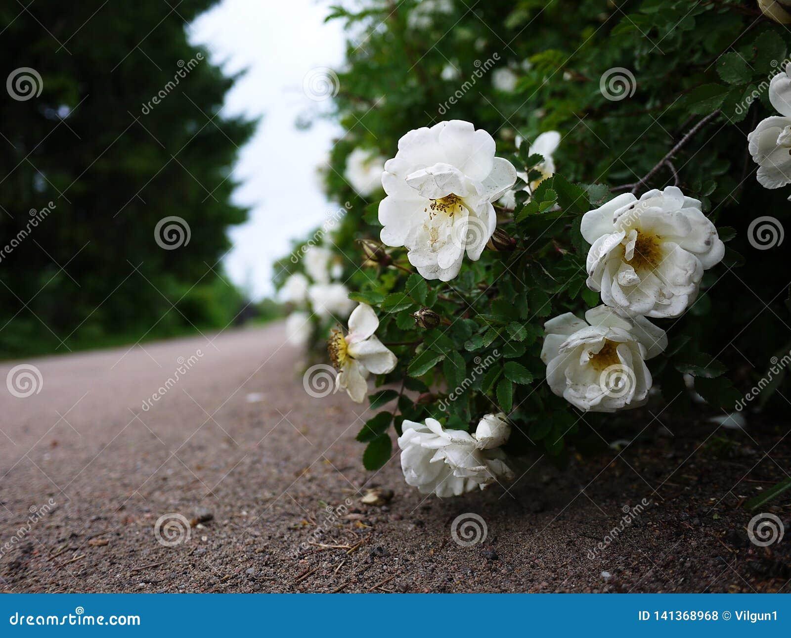 Vita buskerosor fördelade stora knoppblommor Blomma rosor i vår och försommar