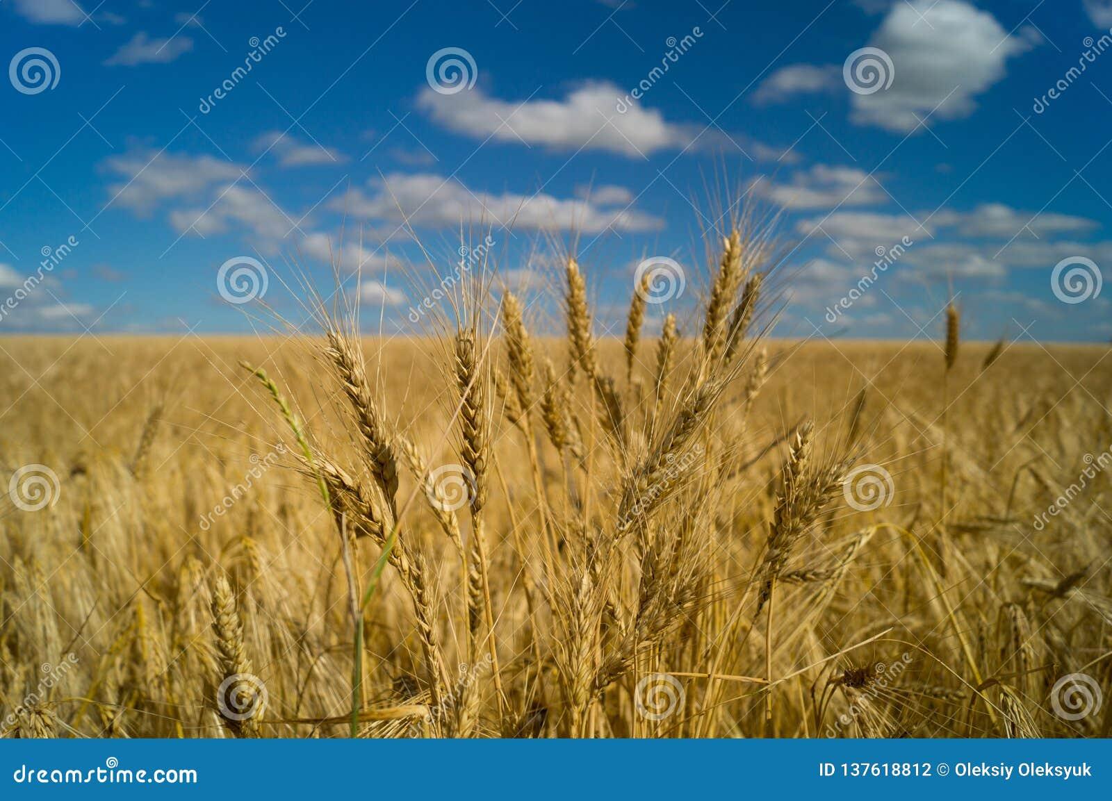 Vita di paese Campo di frumento l ucraina