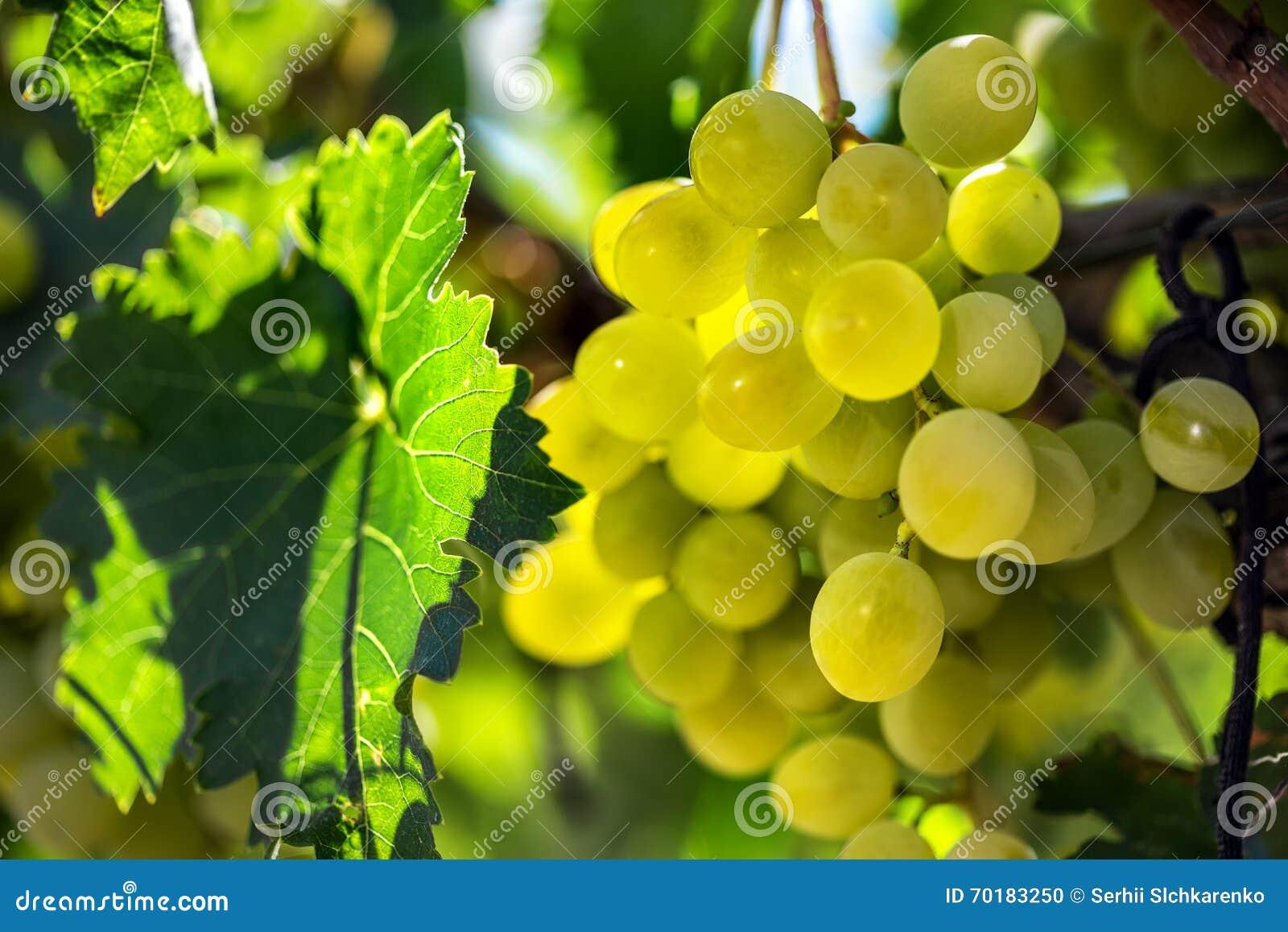 Vita druvor som hänger från grön vinranka med suddig vingårdbakgrund
