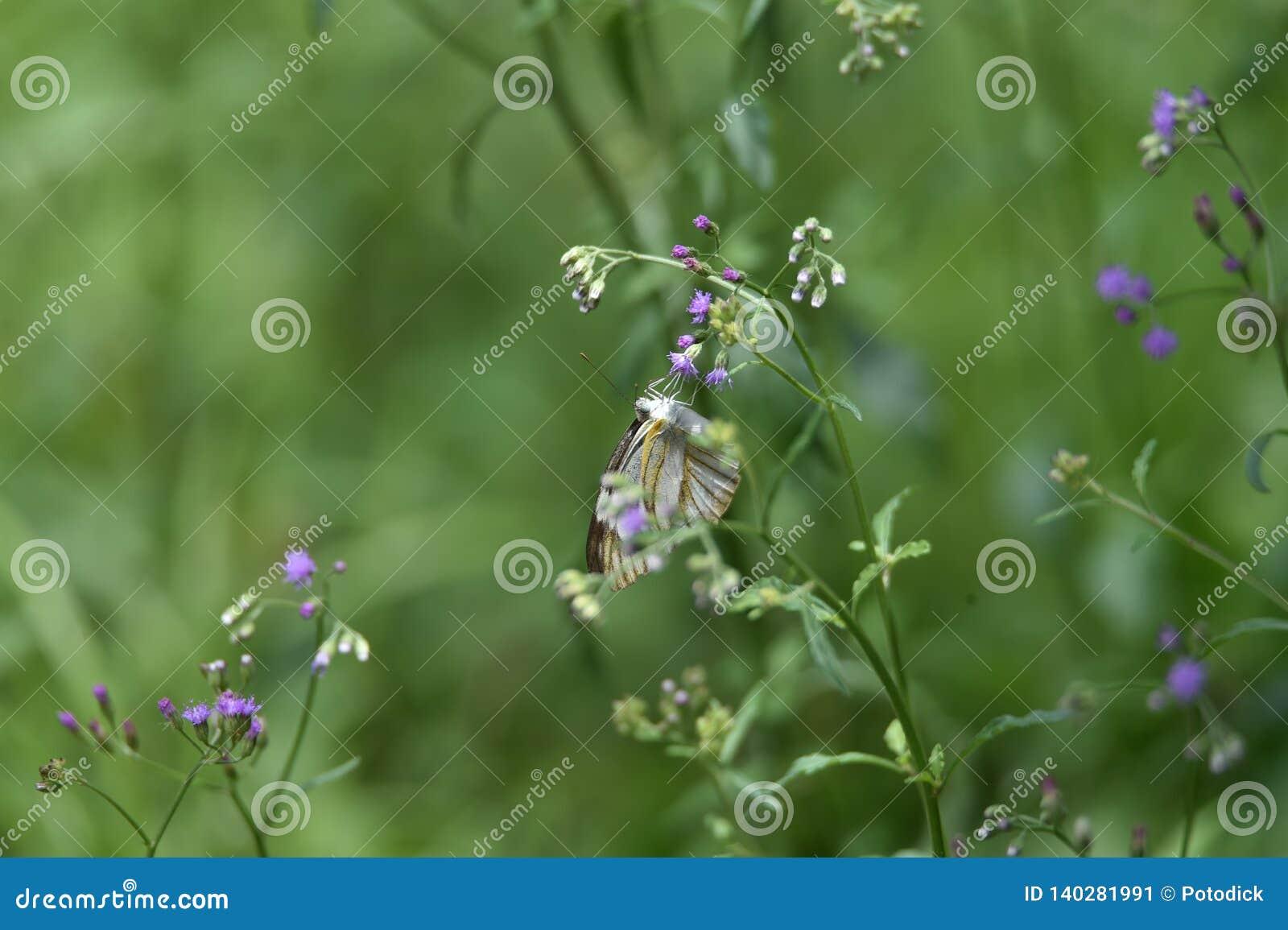 Vita fjärilar sätta sig på blåa vita blommor